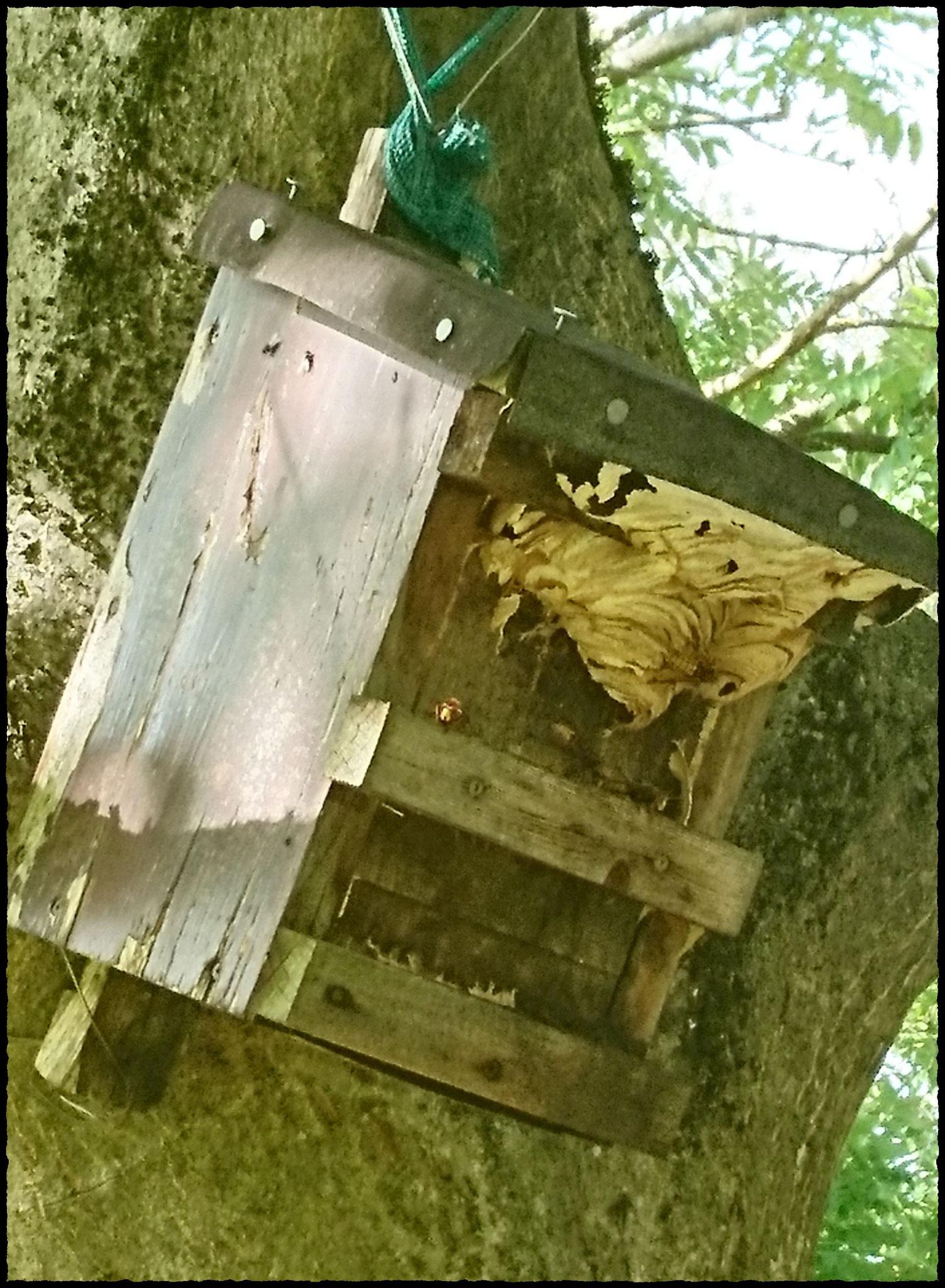Hornissen bauen außen am Nistkasten weiter, wenn das Innere voll ist.