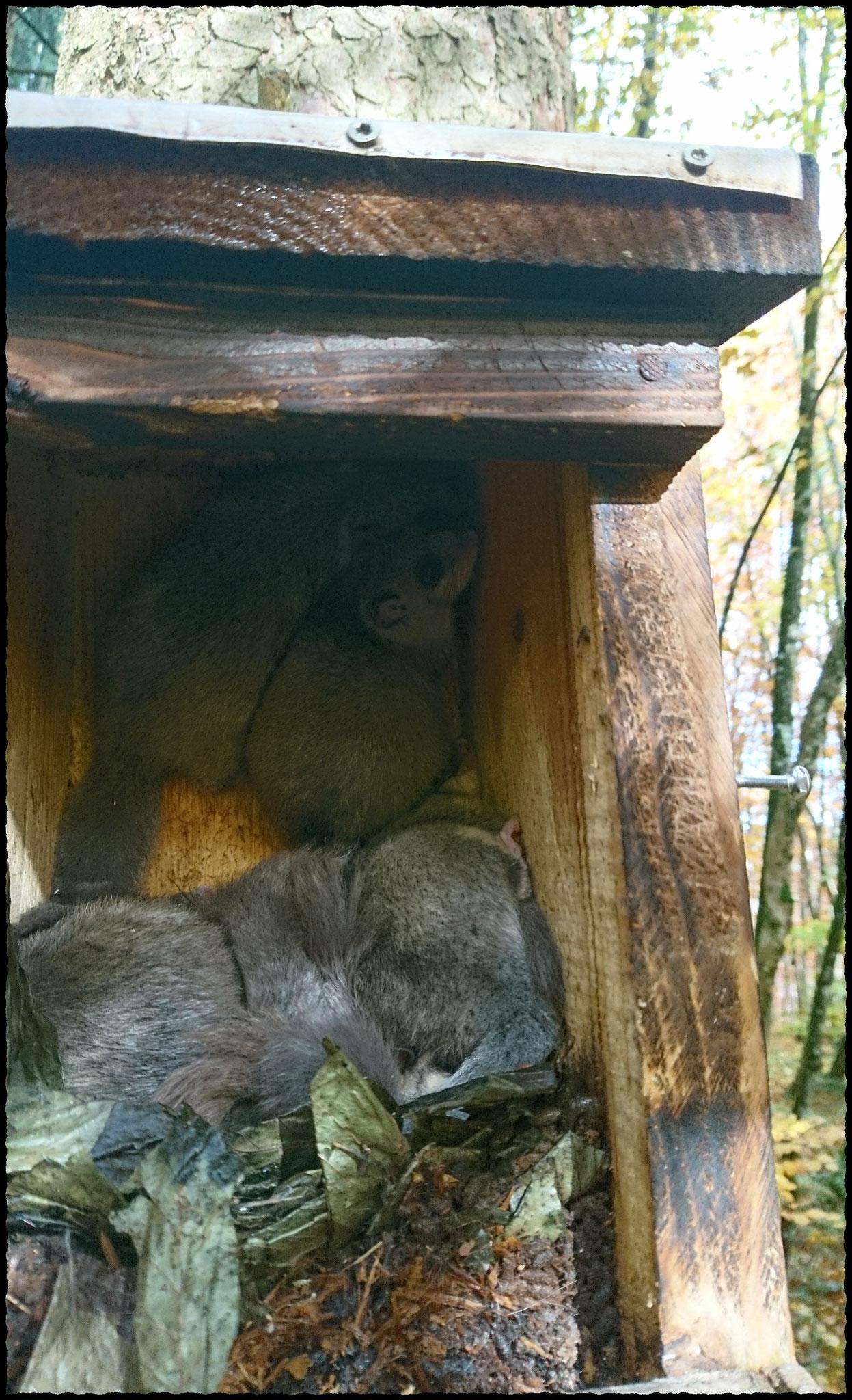 mindestens 4 junge Siebenschläfer. Zu erkennen ist der Nest-Überbau mit Laubblättern.