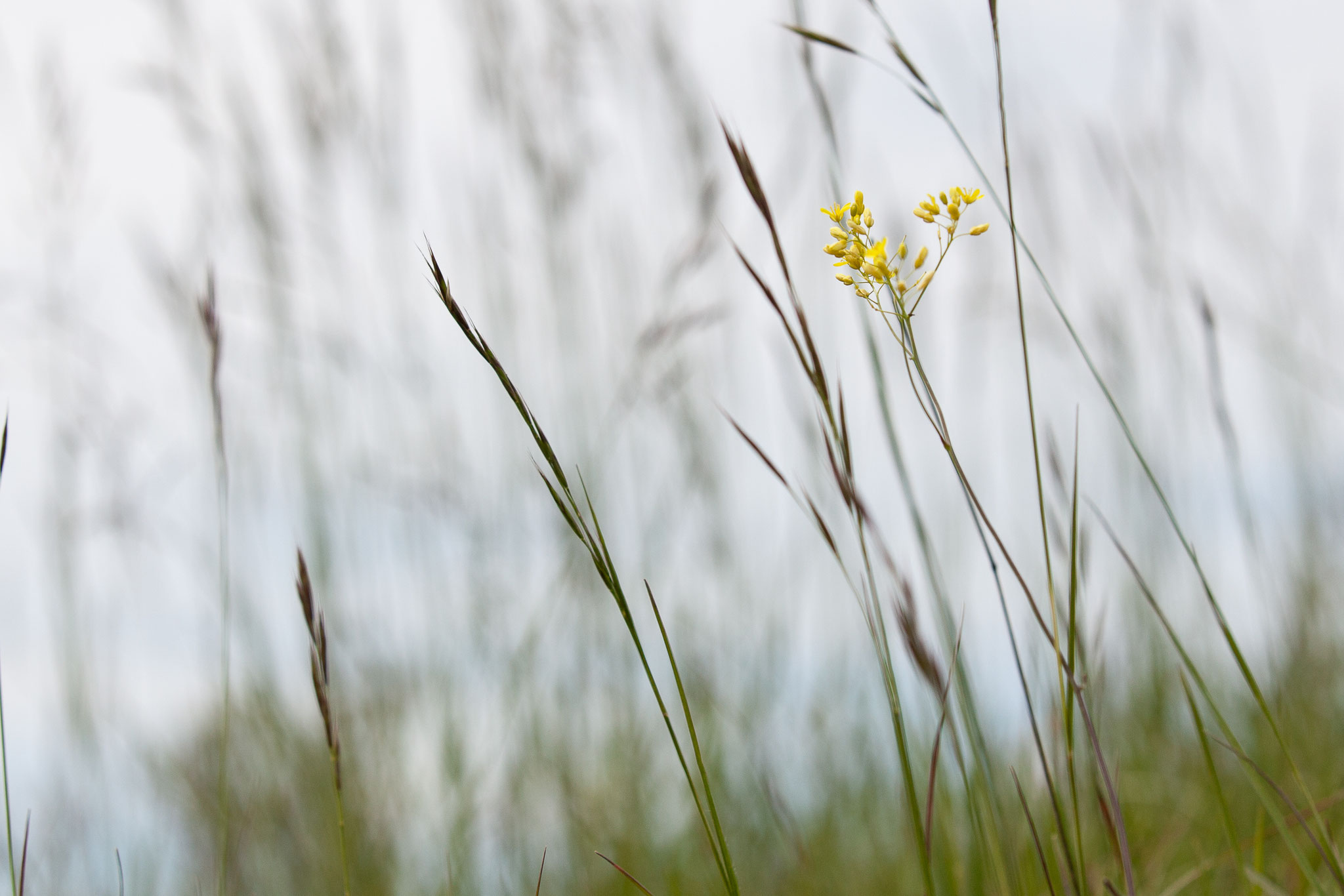 Biscutella guillonii