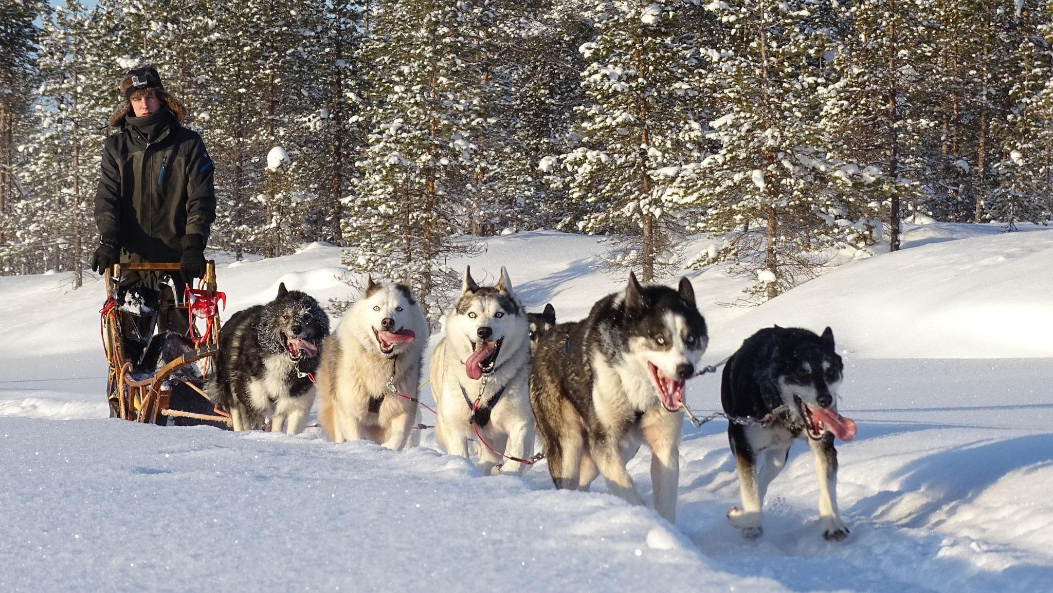 Unsere Huskytouren gehen fast täglich raus