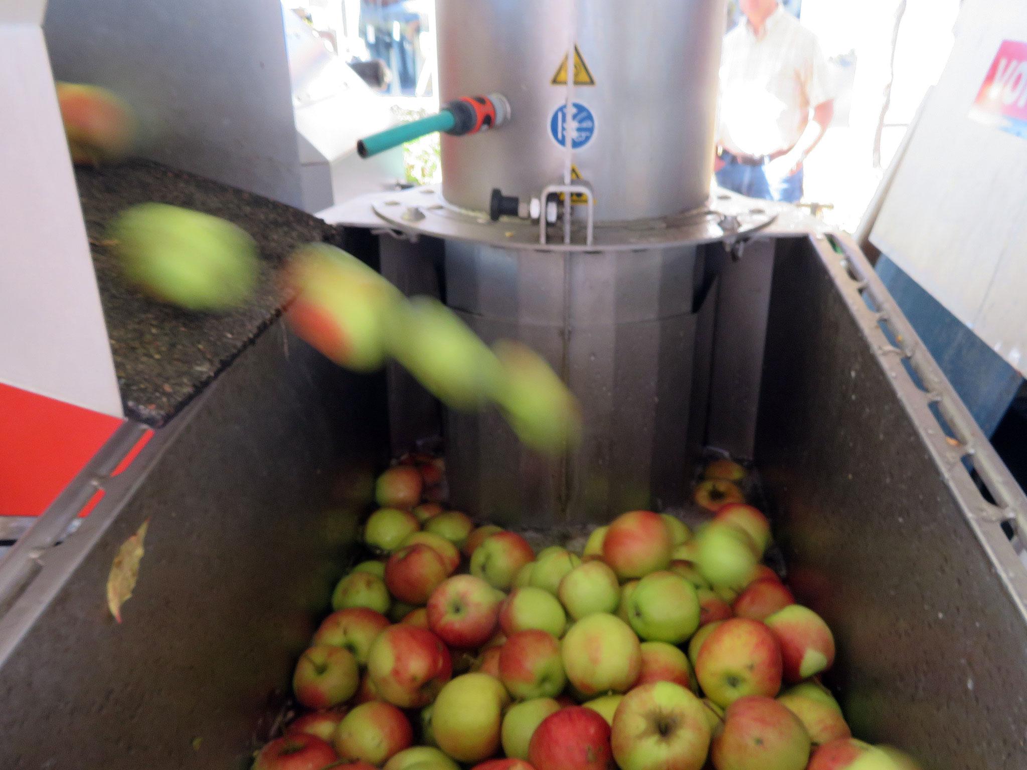 Äpfel im Wasserbad vor dem Zerkleinern