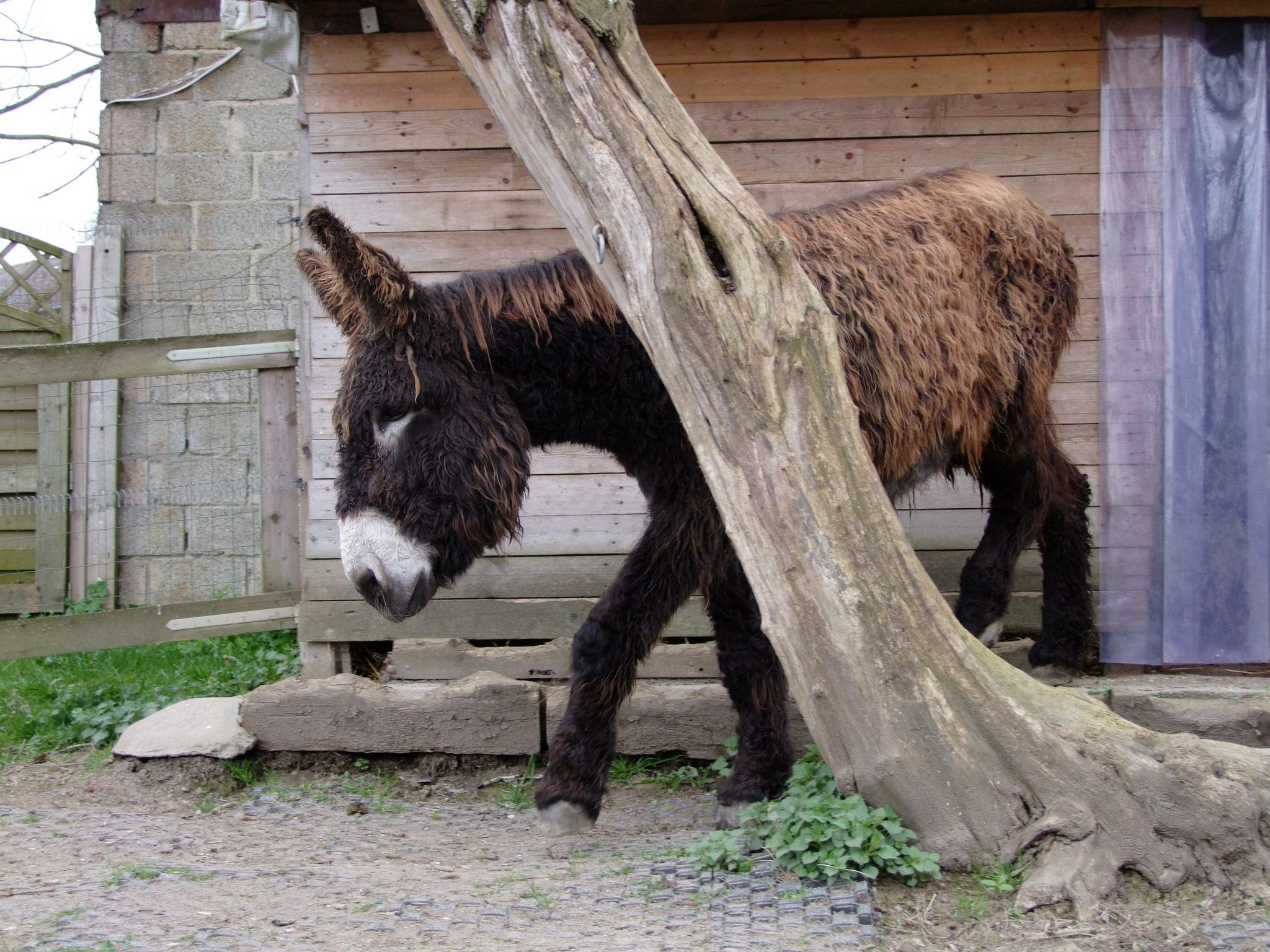 Großesel aus dem Zoo in Münster