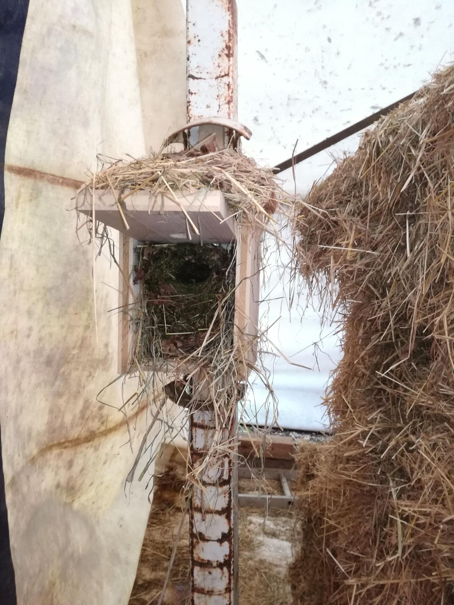 das Nest, unversehrt in dem Festgezurrten Nistkästen und zur Krönung kam auch gleich der kleine Zaunkönig zurück an sein Nest