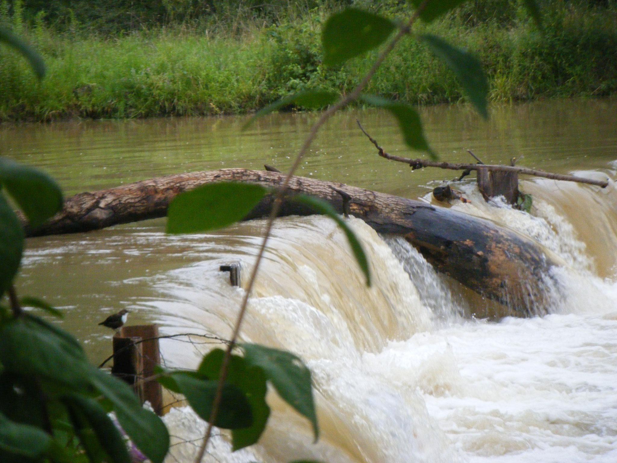 Das Wasser hat einen riesigen Baumstamm über die Spundwand gespült, der dort hängen geblieben ist und sich wie eine Wippe wiegt, im Vordergrund links eine Wasseramsel