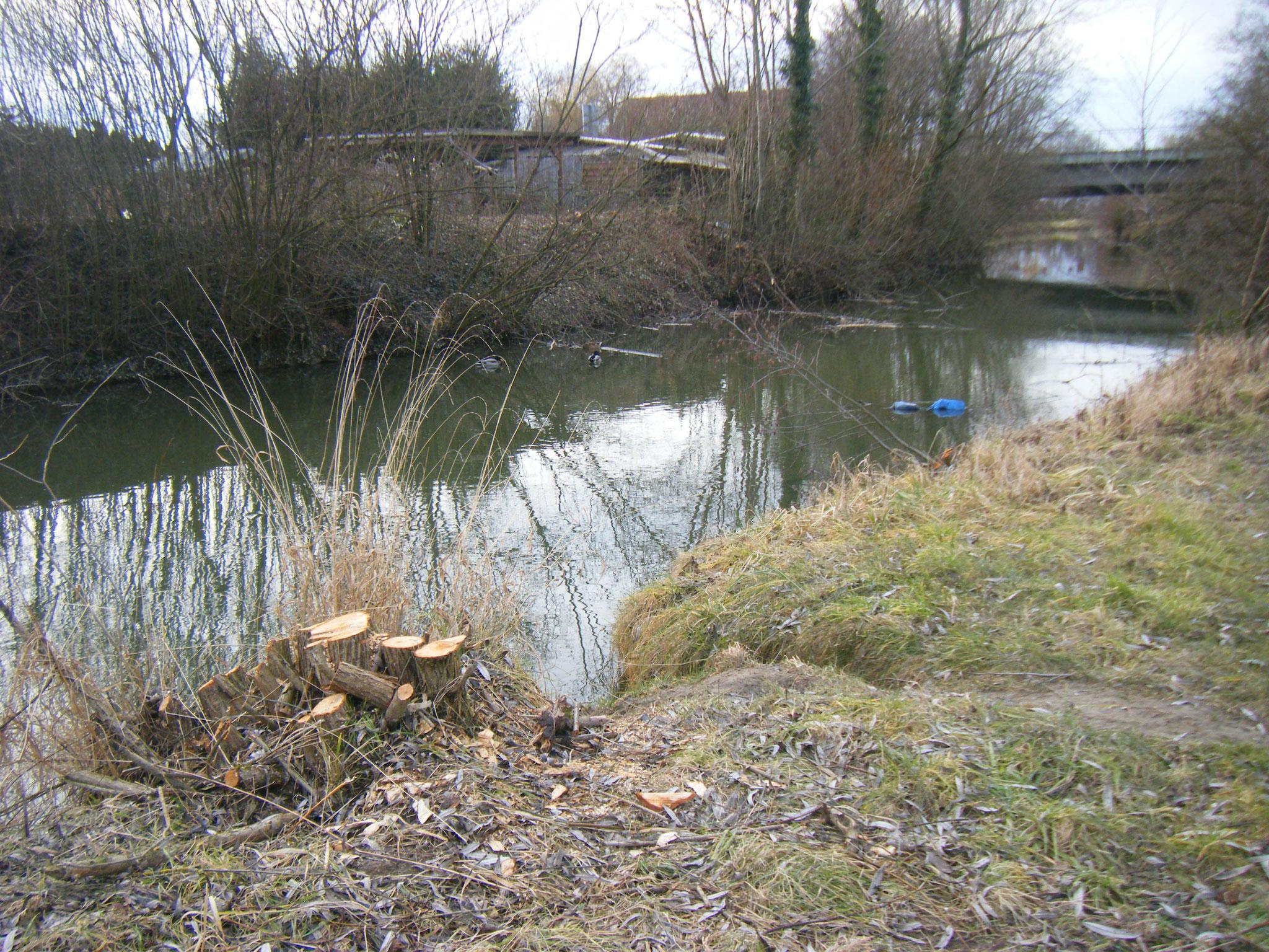 zwei Enten wundern sich: Kahlschlag an den Weidengebüschen - aber den Müll der überall herumliegt und im Wasser schwimmt, nimmt keiner mit