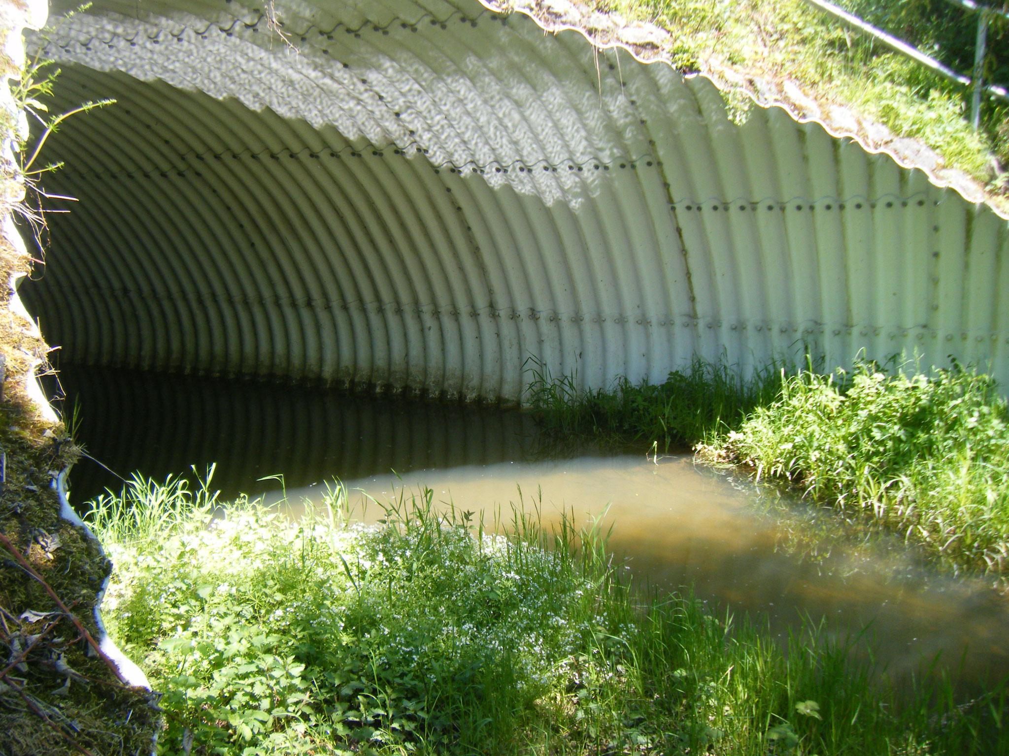 Der Tunnel des Allmannsweiler Baches unter der B 31, der Wasserstand ist hoch wegen der Biberdämme, aber das ist gut so, hier explodiert die Artenvielfalt