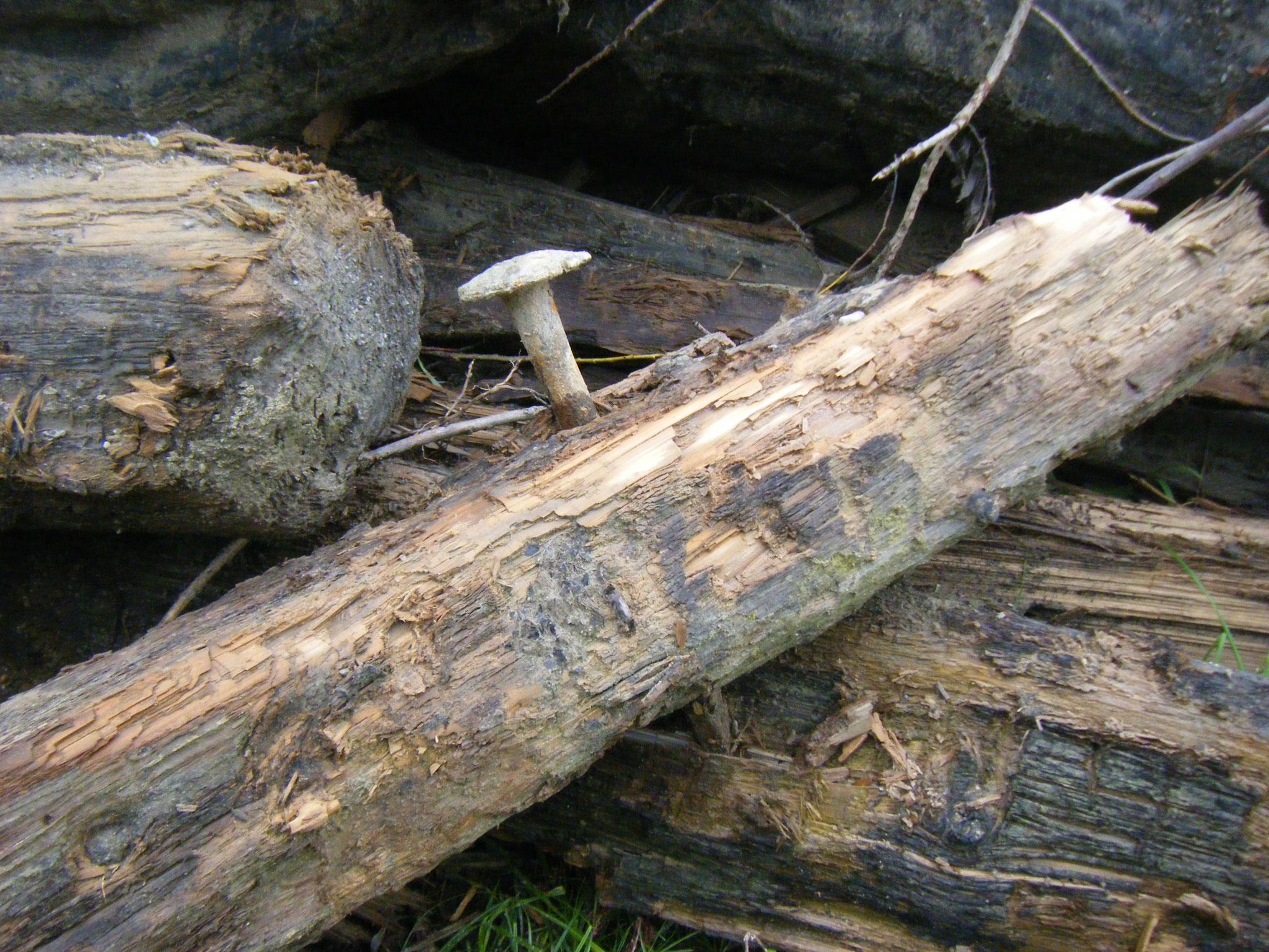 in den alten Balken des Rundelwehres stecken Nägel von martialischer Größe