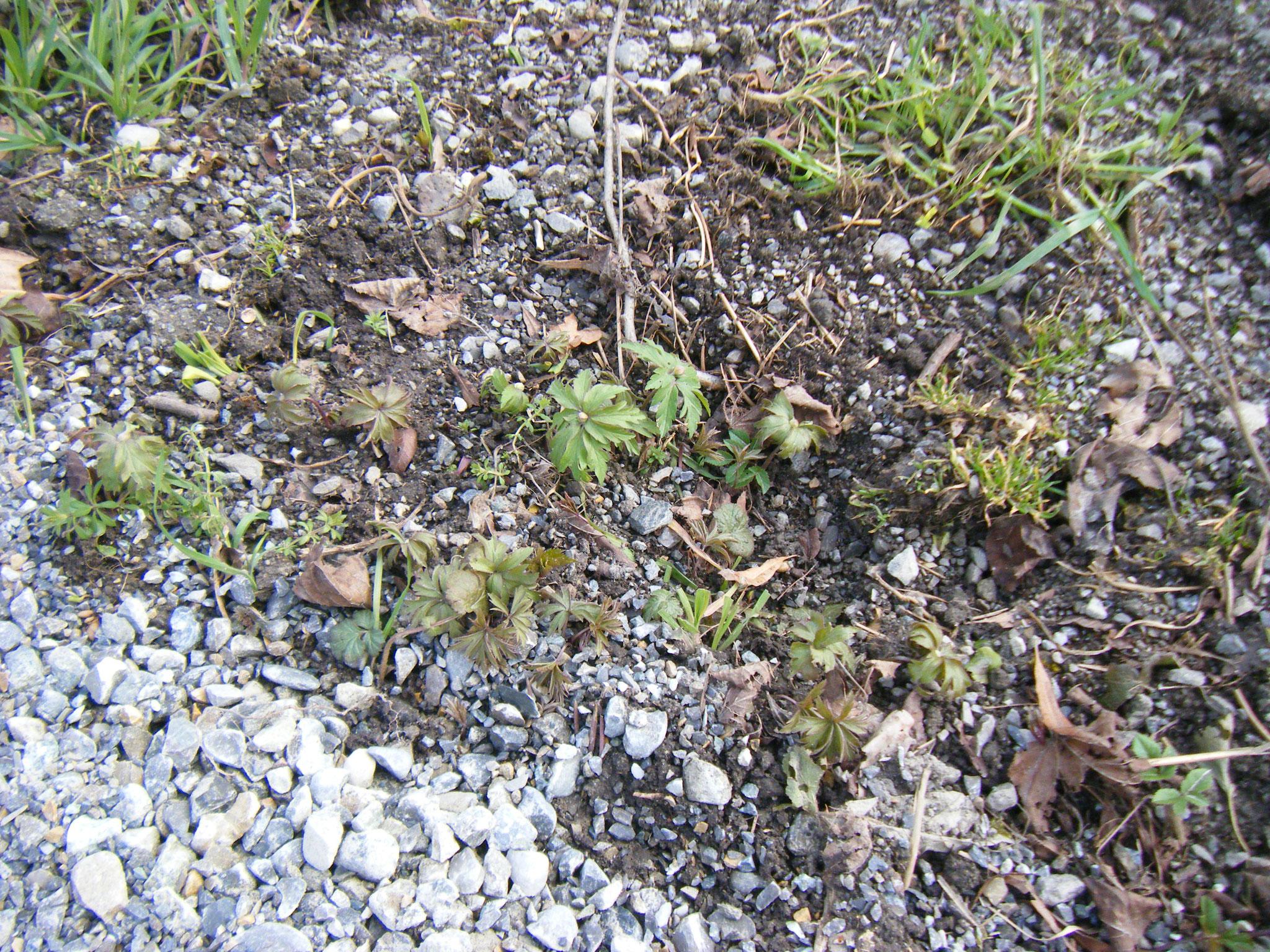 Leider hat die Pflanze schwer zu kämpfen gegen Umwelteinflüsse wie Überschotterung oder totes Geäst