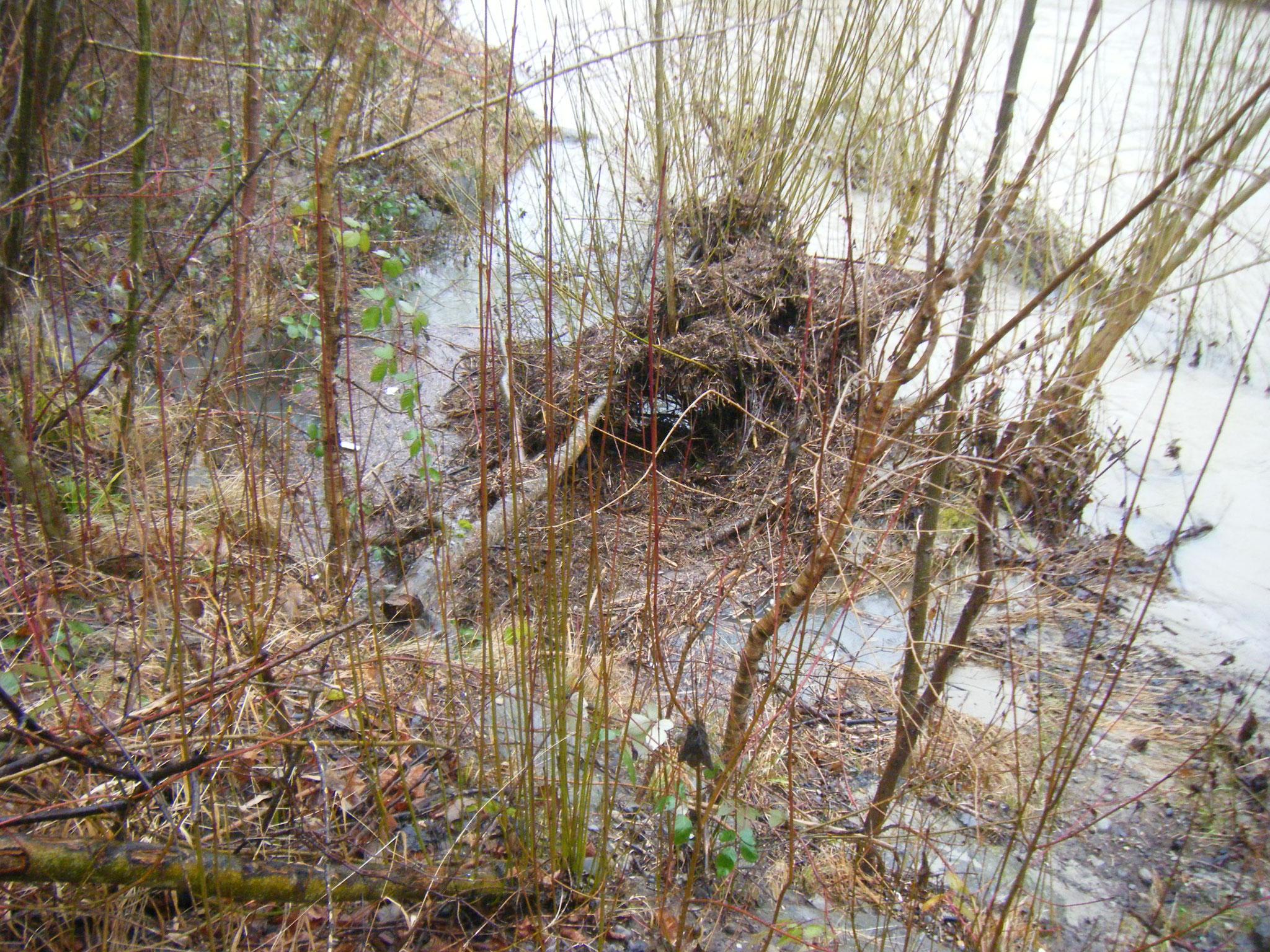 Der Zusammenfluss von Allmannsweiler Bach und Rotach ist verschlammt und von Plastik durchsetzt. Der Biberbau ist nur noch bruchstückhaft zu erkennen.