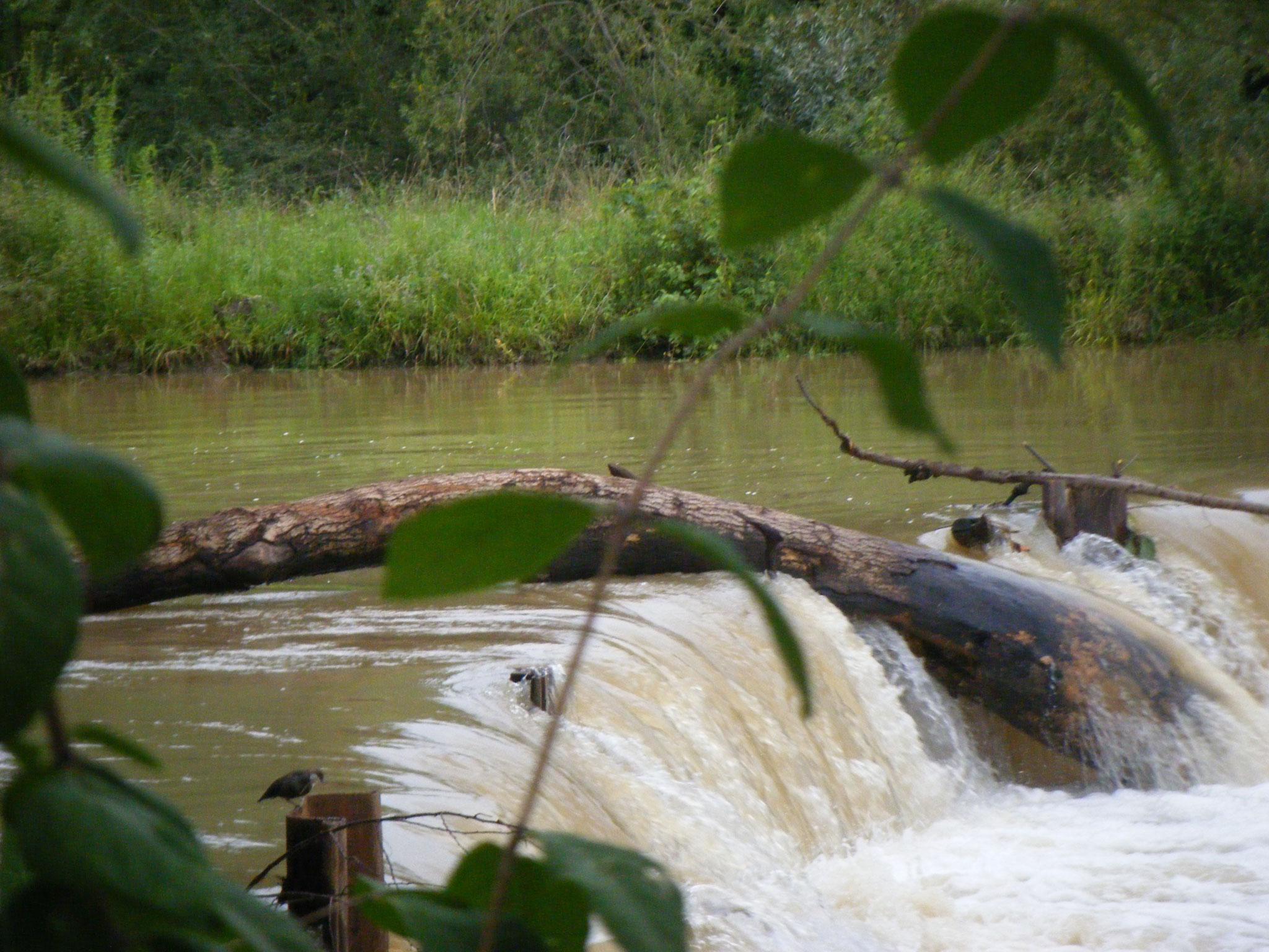 Die Wasseramsel freut sich über so viel Wasser, sie wippt fröhlich und hält Ausschau nach Jagdbeute.