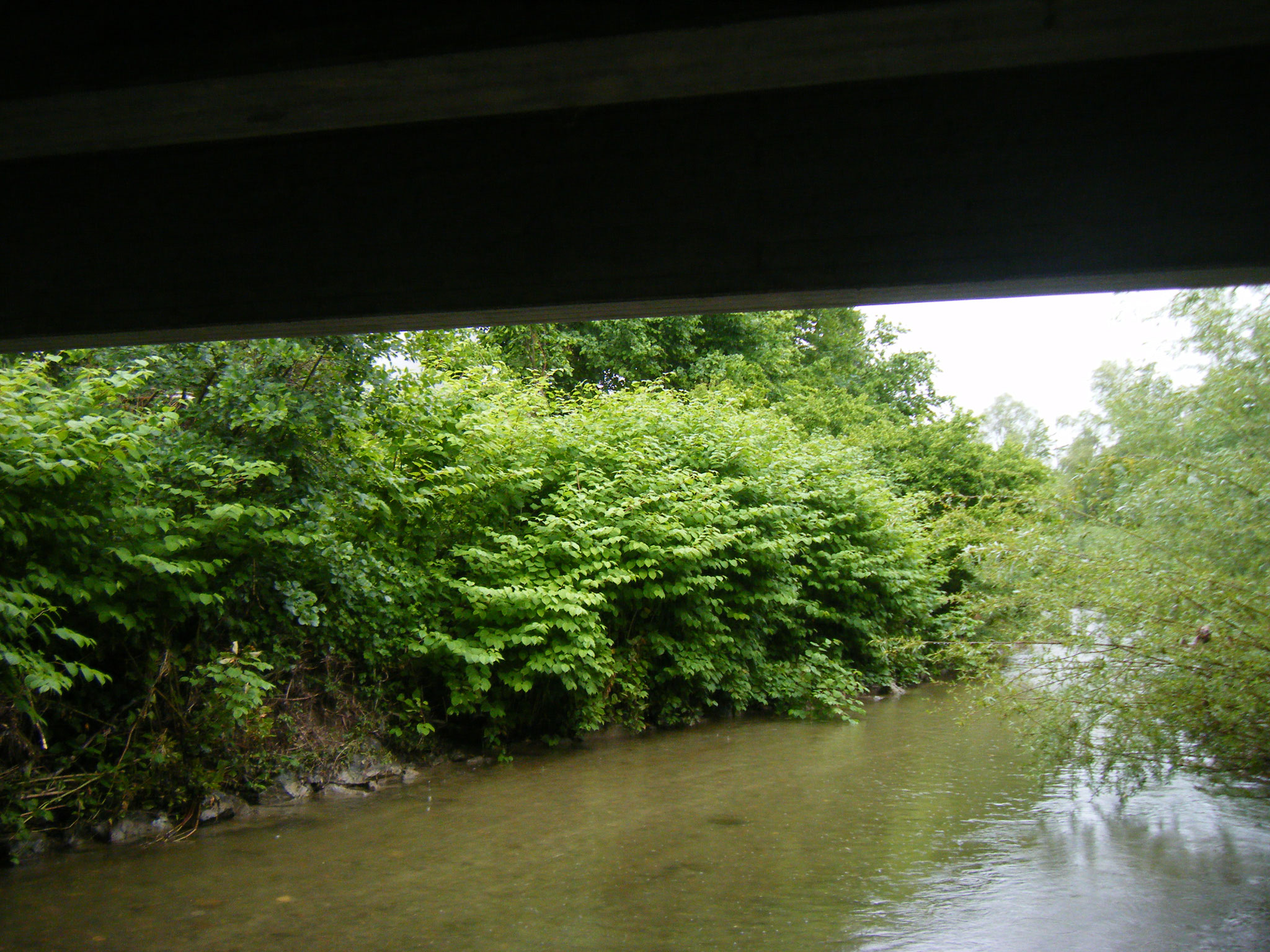 Das Westufer ist am 5. Juni üppig bewachsen mit meterhohem japanischen Knöterich, der sich mit der Brombeere einen Kampf um die Oberhand bei der Lichternte liefert
