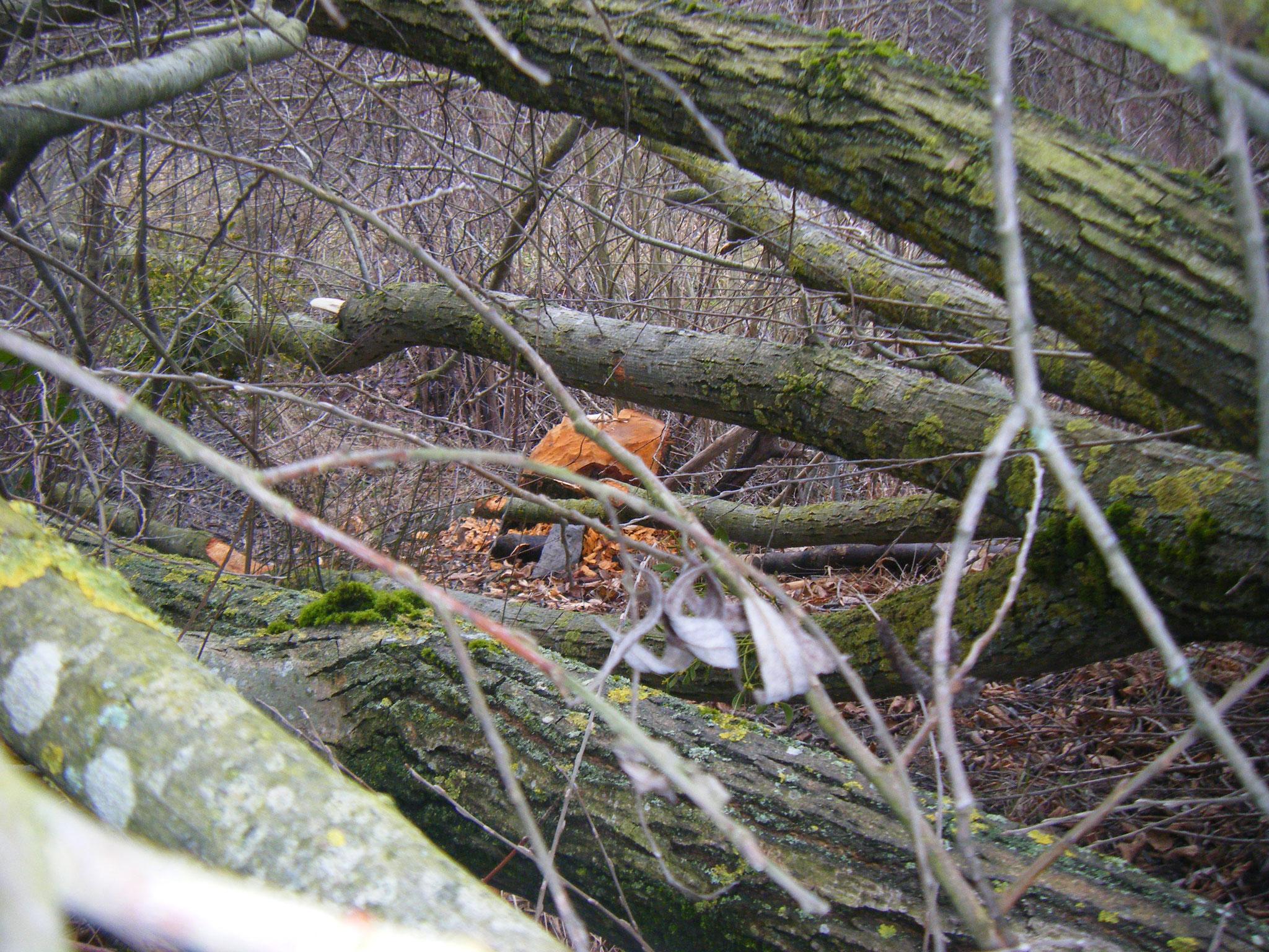 Der Baum wird aber liegen gelassen, so kann der Biber weiter daran arbeiten