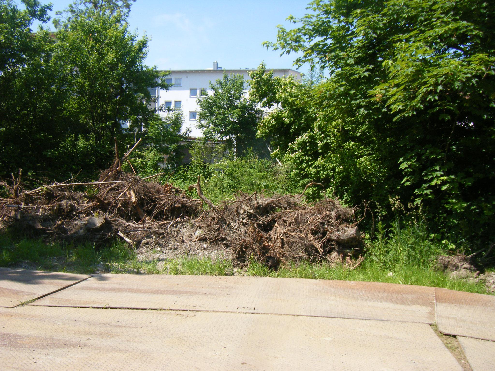 es wurden noch etliche Pflanzn und Wurzeln aus dem Rundel-Areal entfernt