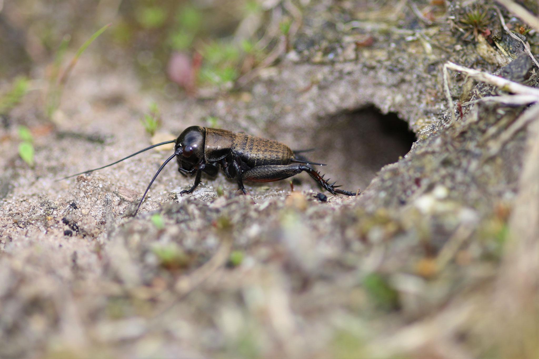 Feldgrille Männchen