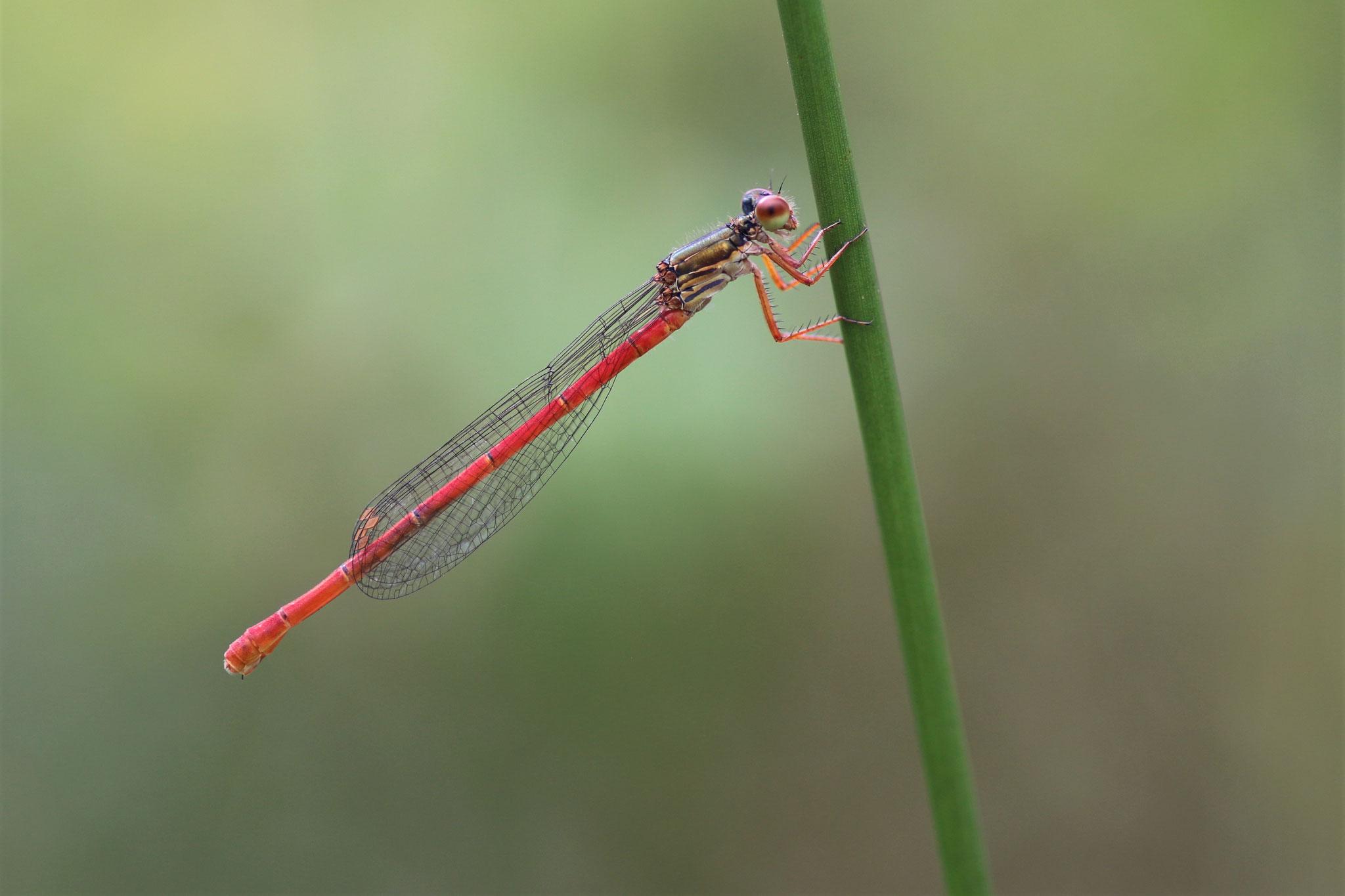 Späte Adonislibelle, Männchen