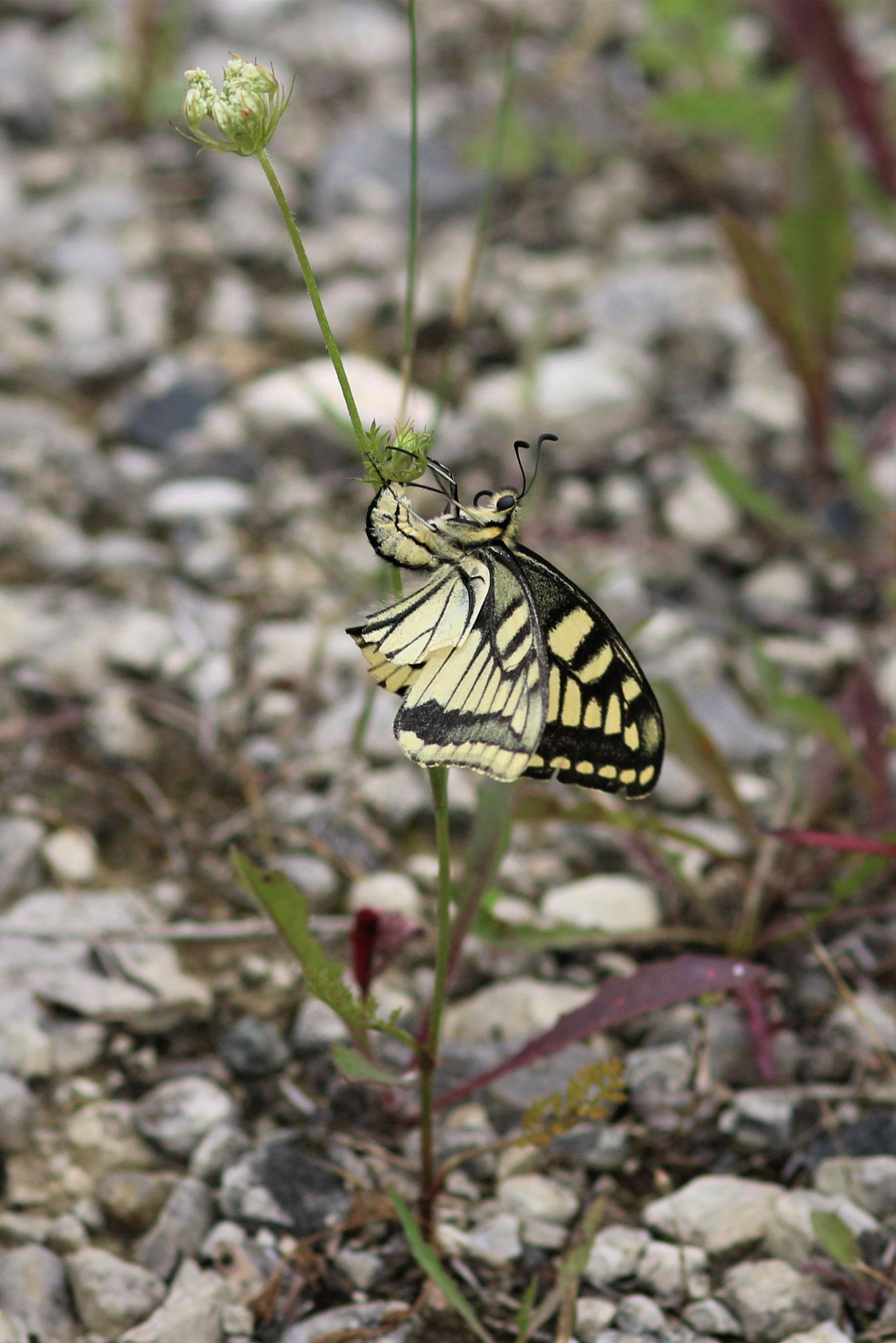 Schwalbenschwanz, Weibchen, Eiablage