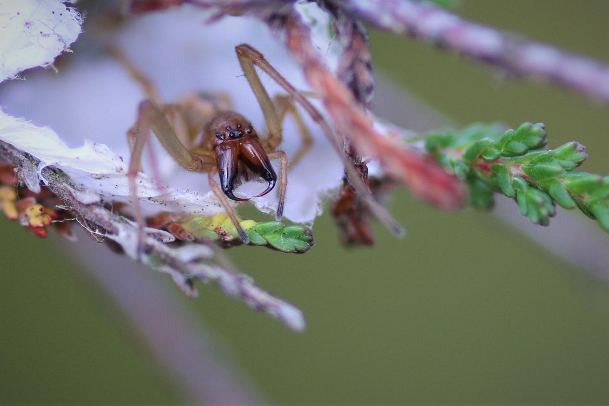 Heide-Dornfinger,Weibchen