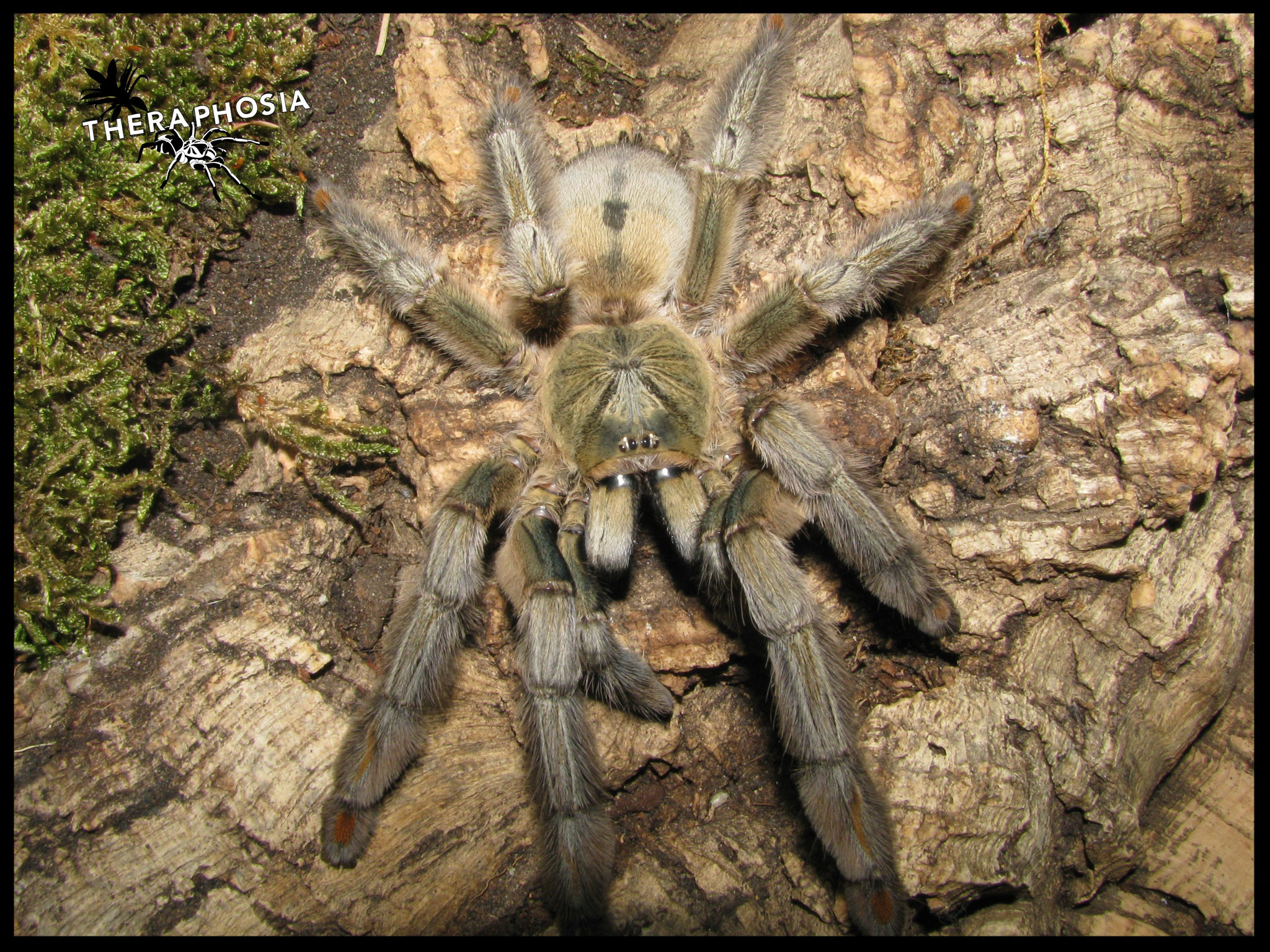 0.1 Psalmopoeus cambridgei