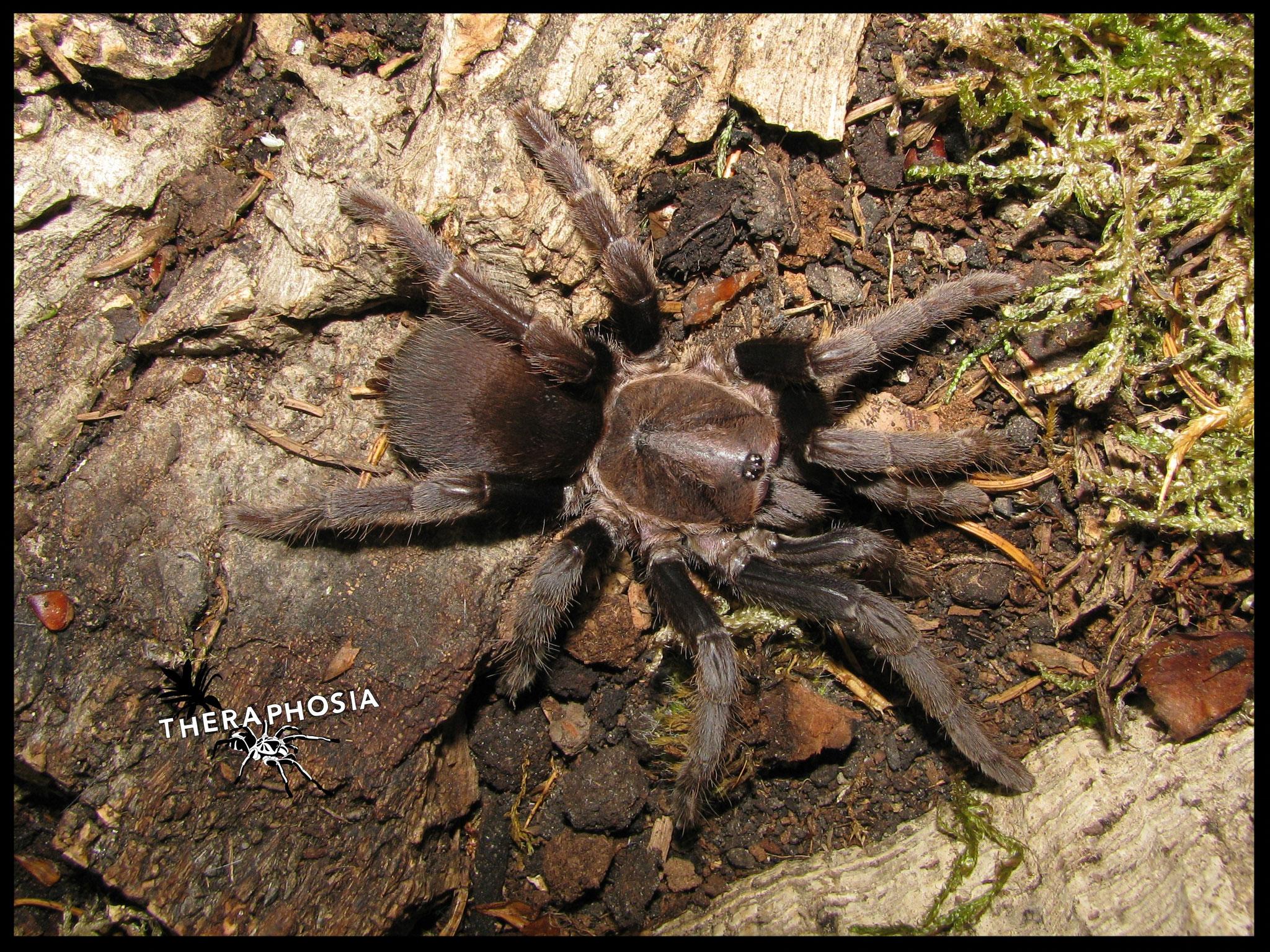 0.1 Haplocosmia nepalensis