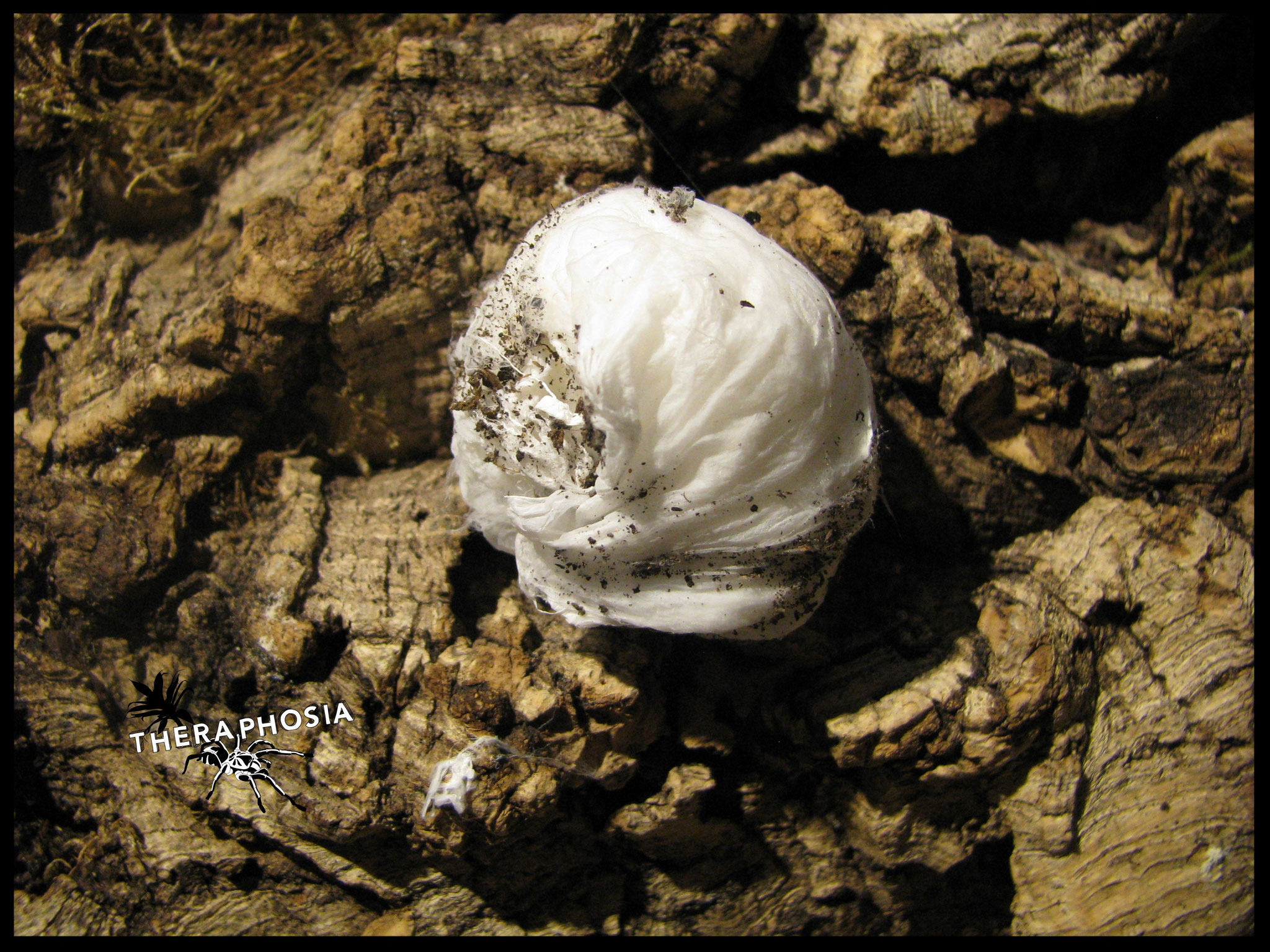Theraphosinae sp. Piura Kokon