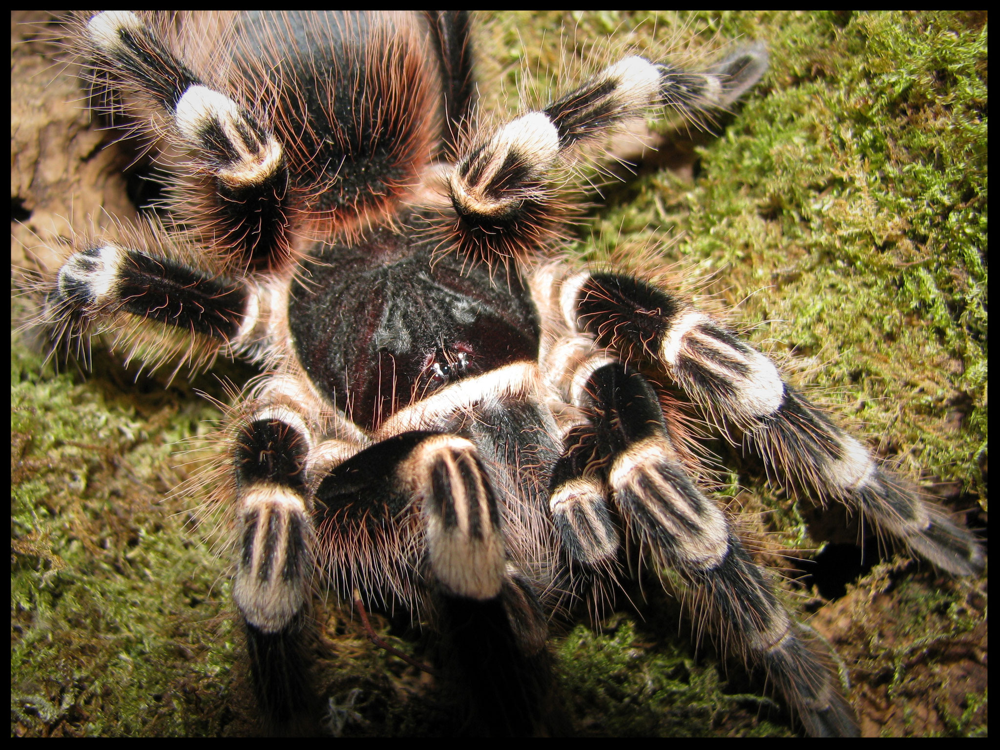 0.1 Acanthoscurria geniculata
