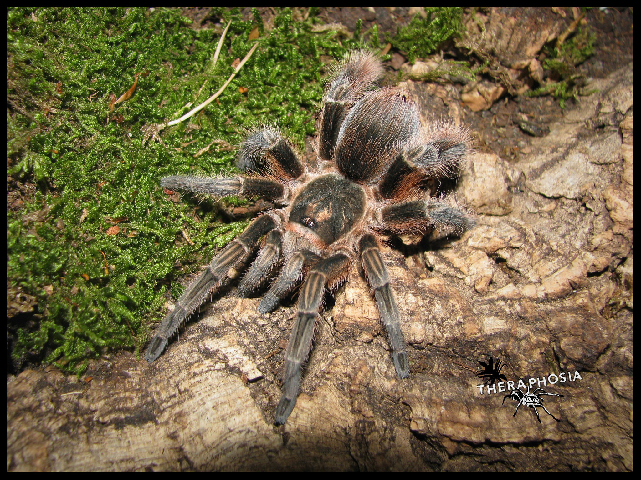 0.1 Phormictopus cochleasvorax