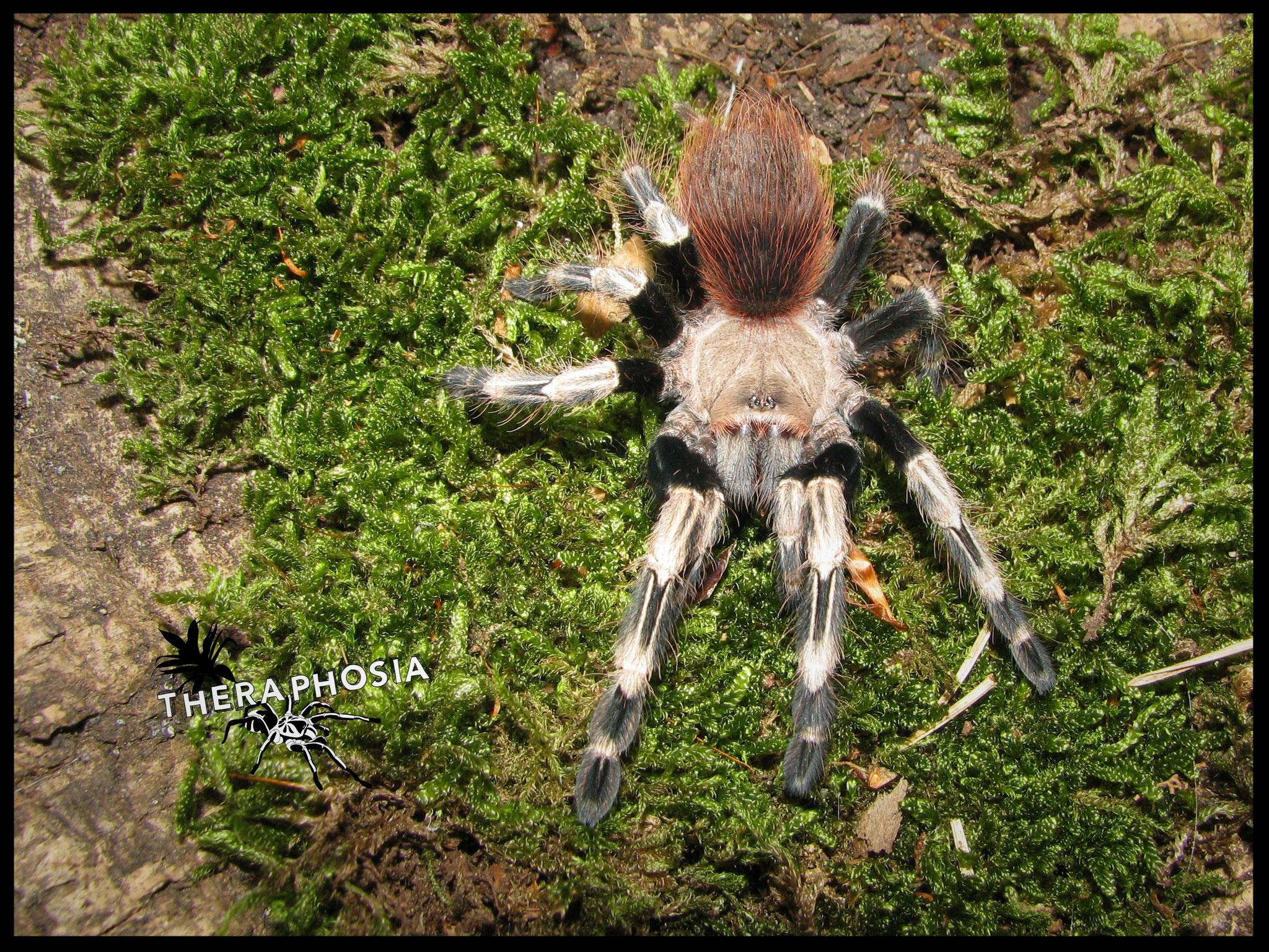 0.1 Nhandu chromatus, juvenil