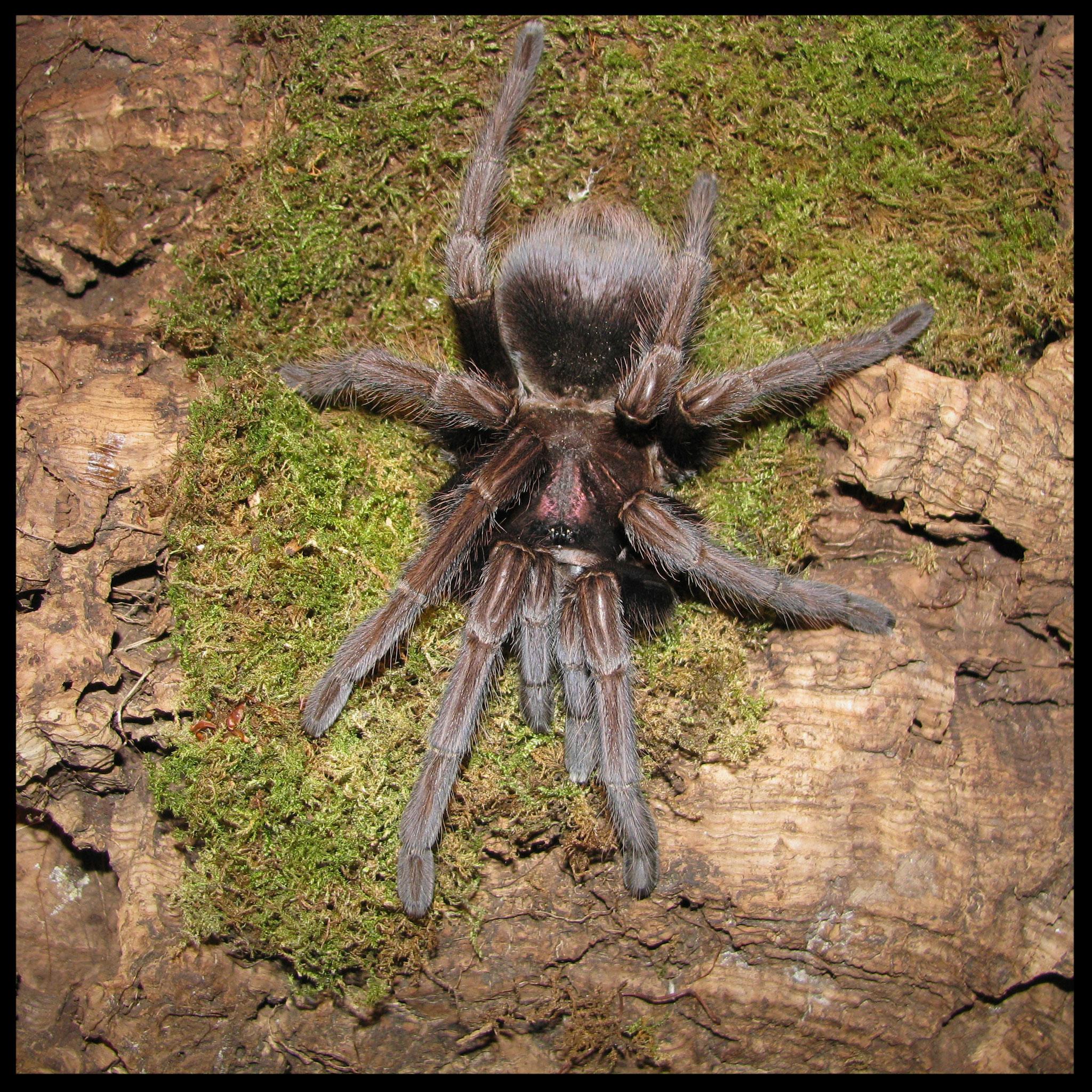 0.1 Phormictopus atrichomatus