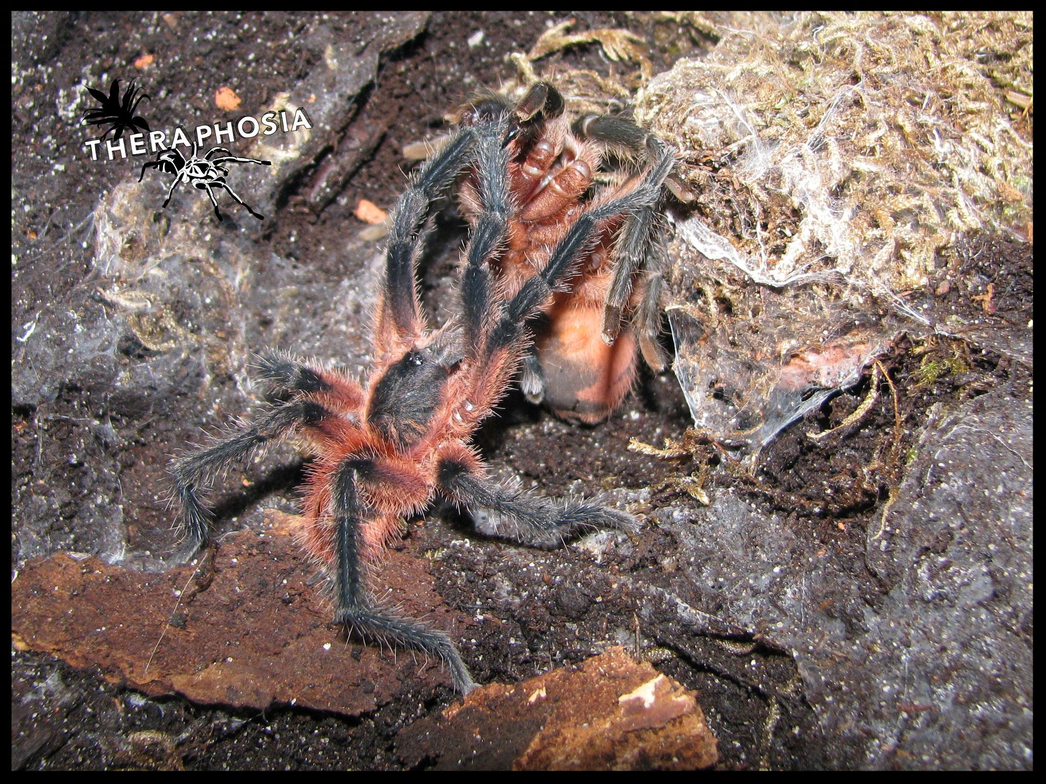 1.1 Theraphosinae sp. Panama