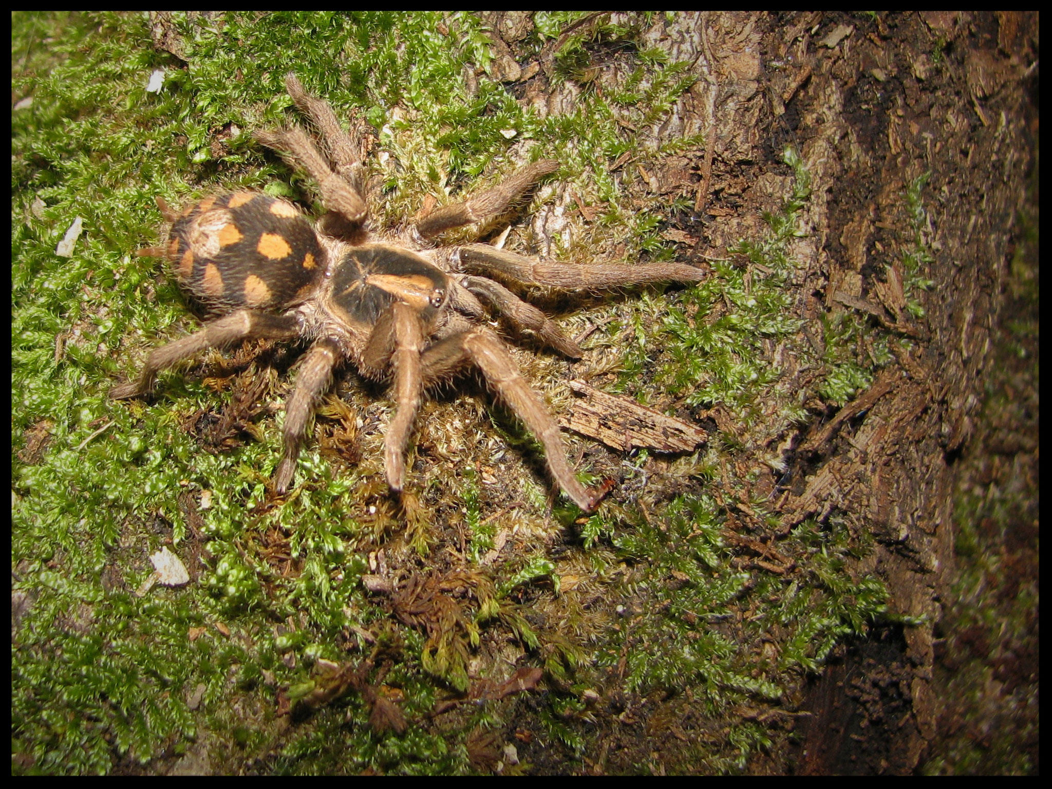 0.1 Hapalopus sp. klein