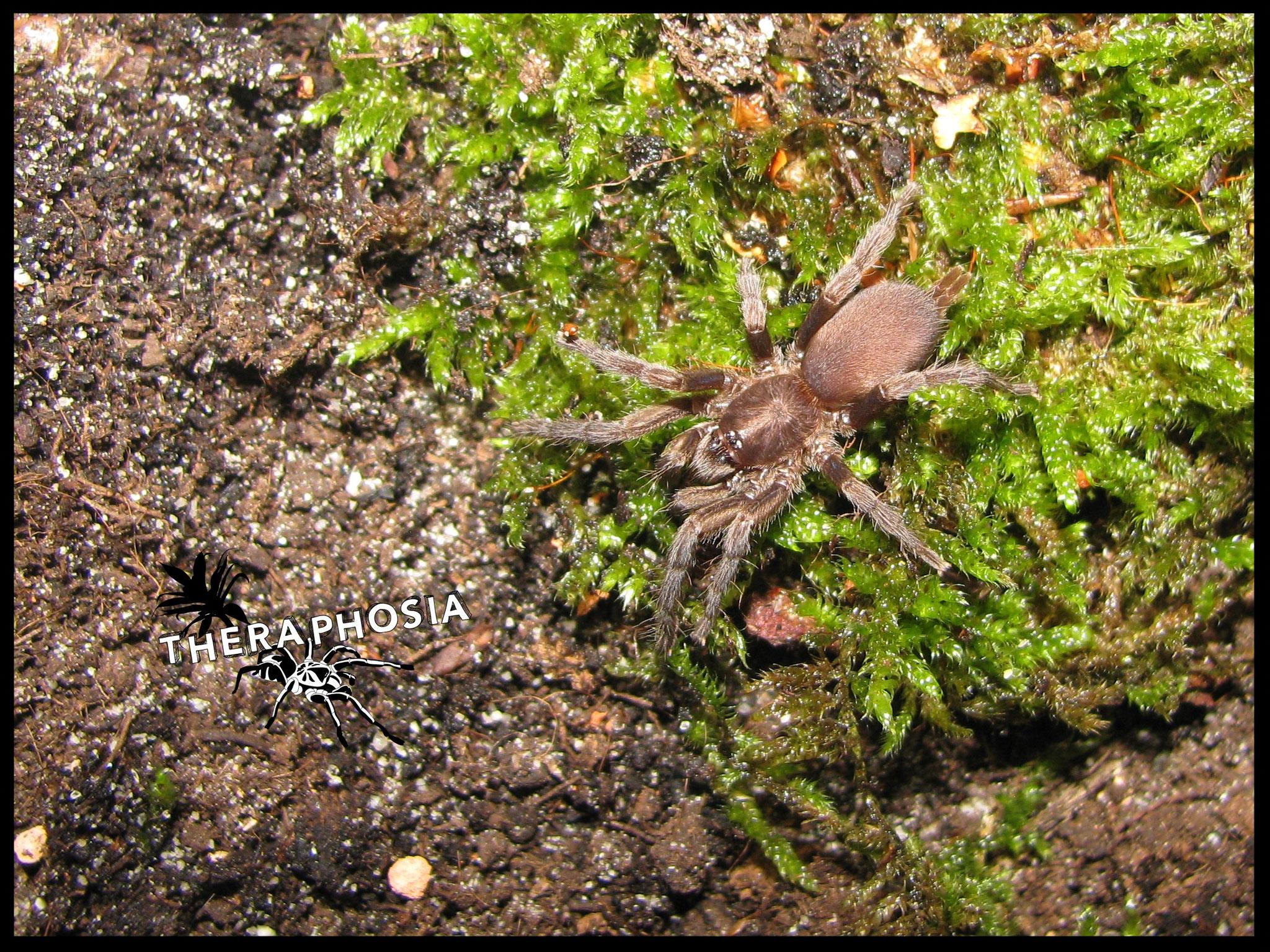 0.1 Plesiophrictus sp Canacona