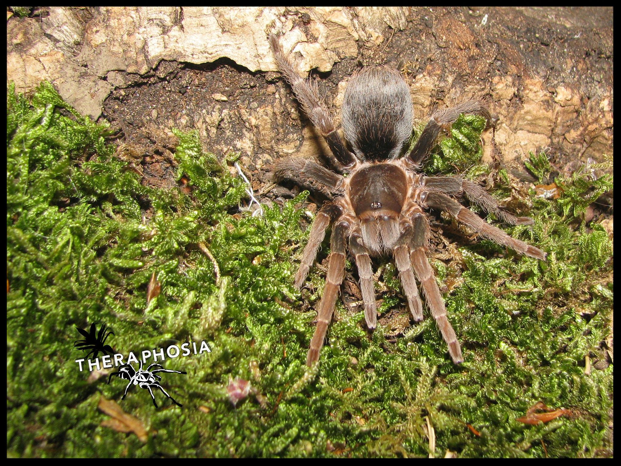 0.1 Pseudhapalopus sp Panama