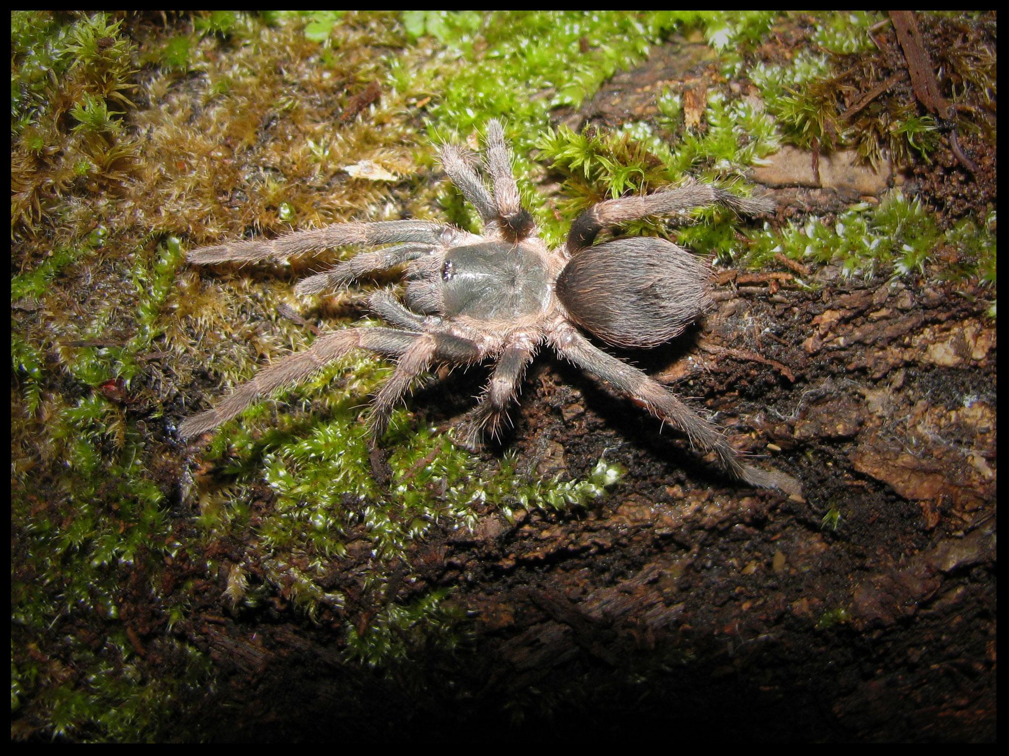 0.1 Theraphosinae sp. cuña, juvenil