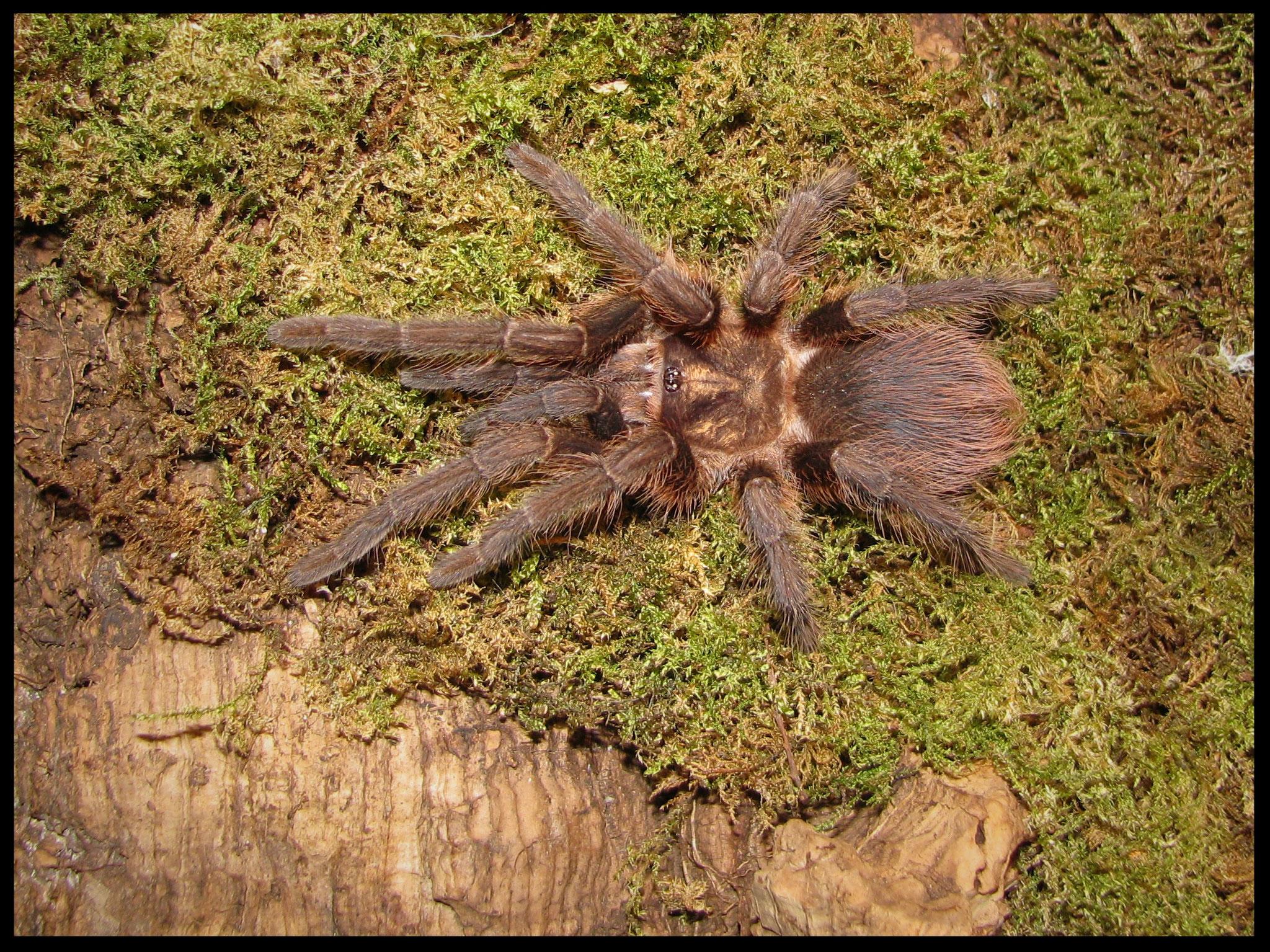 0.1 Phormictopus auratus juvenil