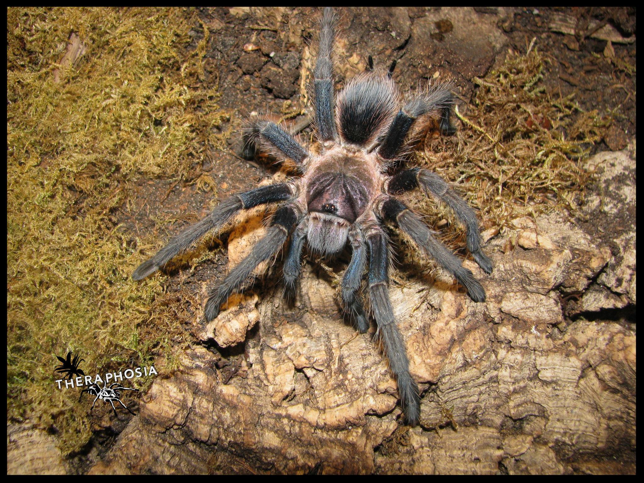 0.1 Phormictopus sp. Las Galeras