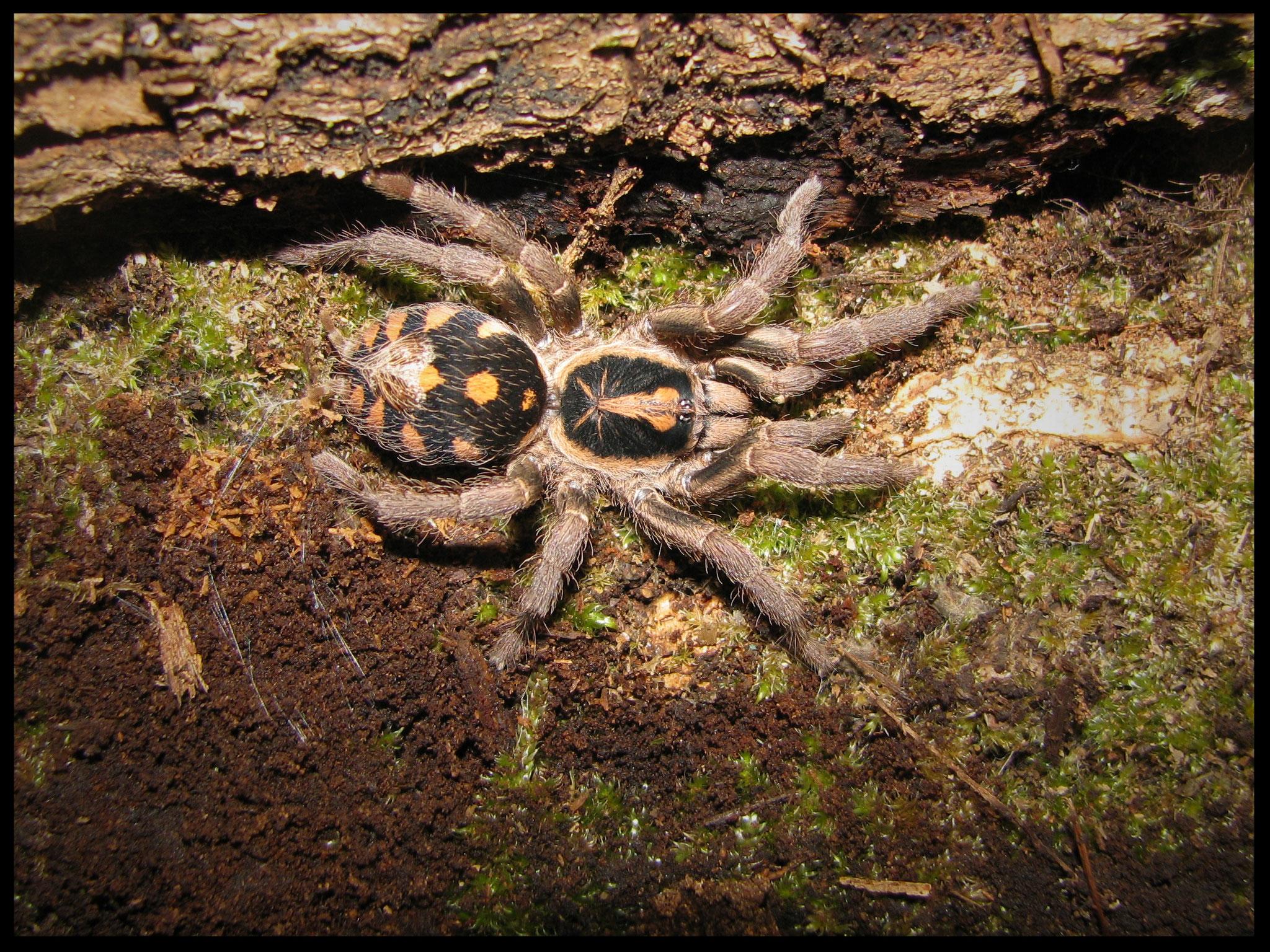 0.1 Hapalopus triseriatus 'lowland'