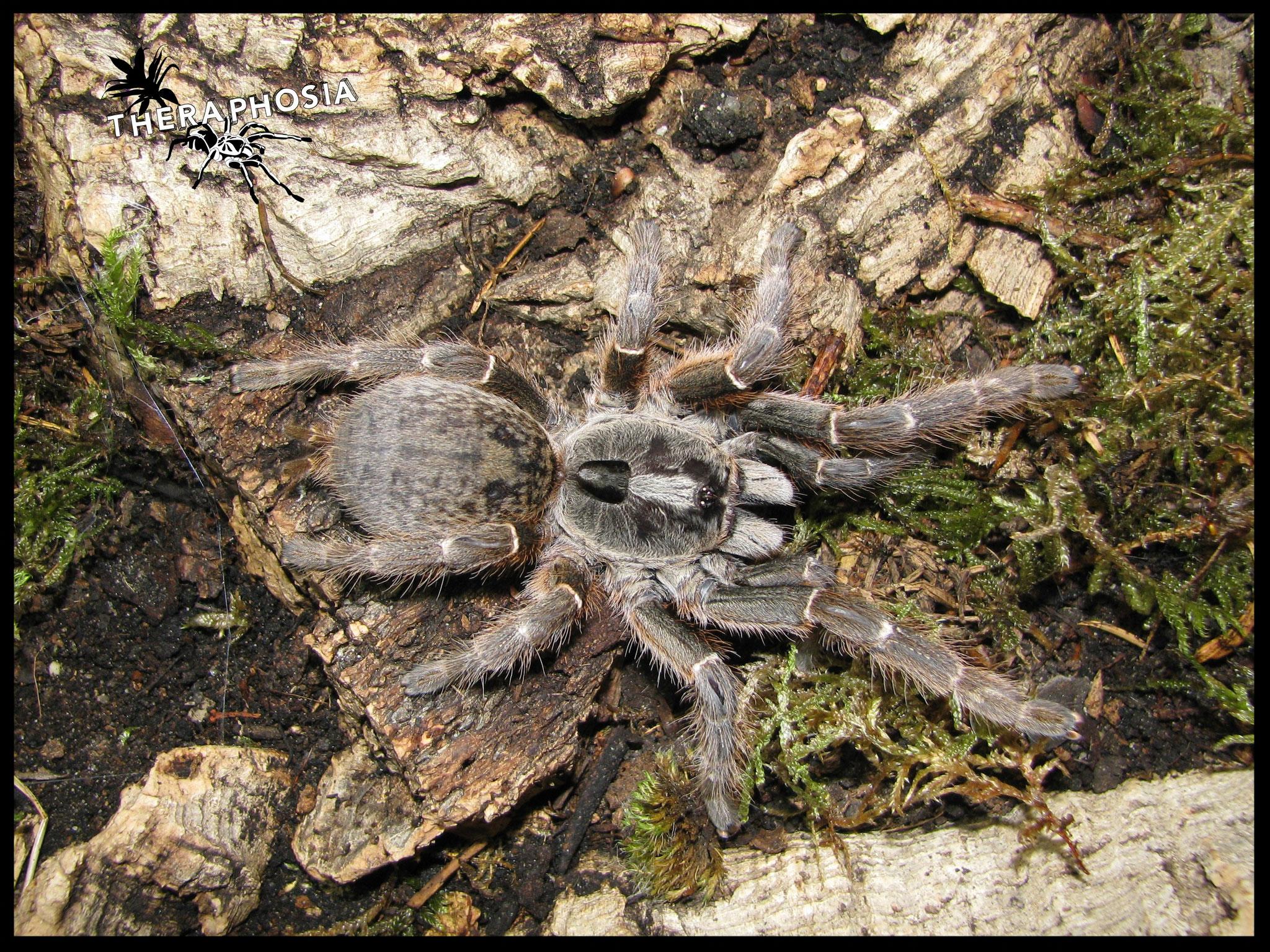 0.1 Ceratogyrus darlingi
