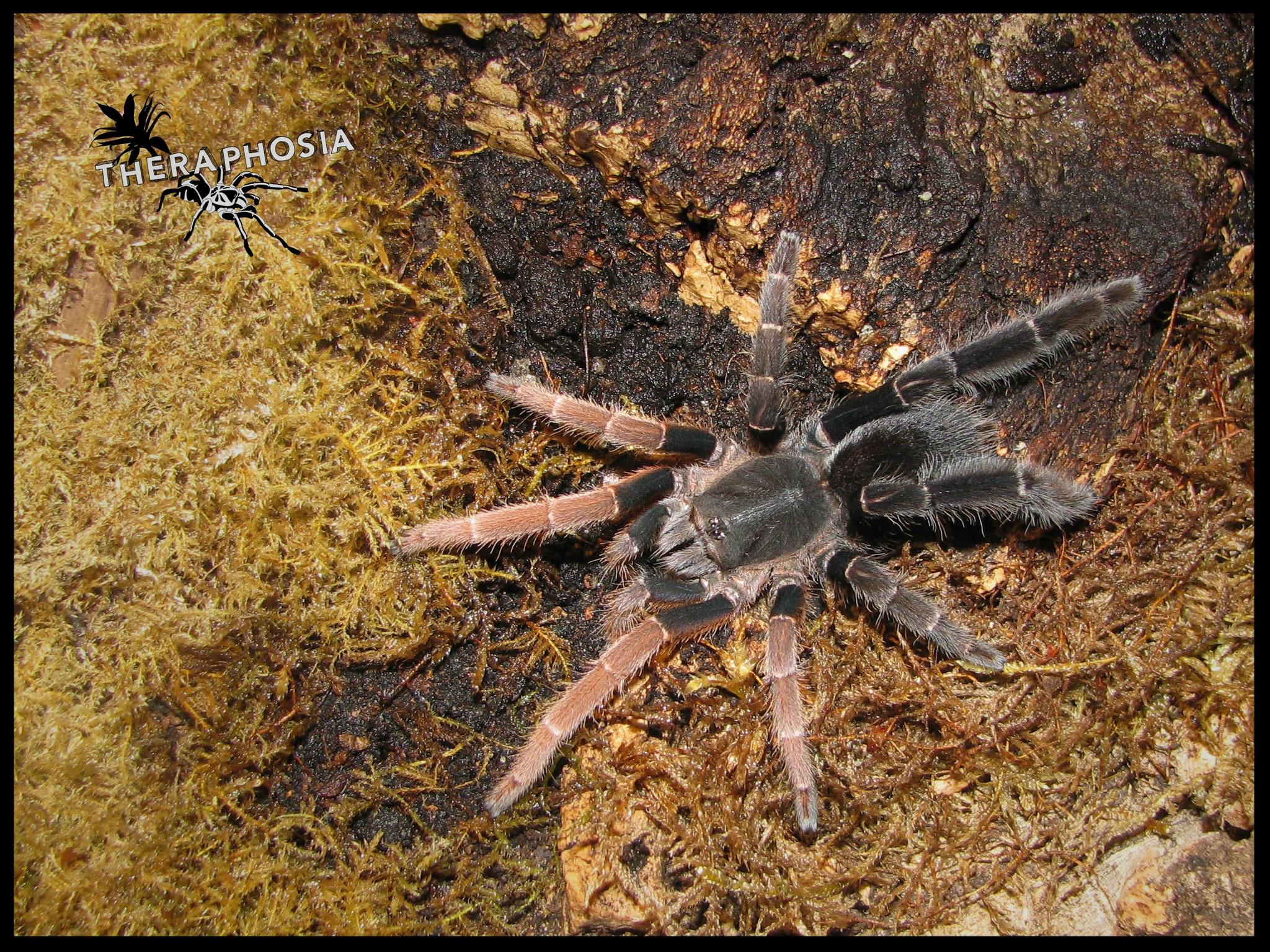 0.1 Lyrognathus giannisposatoi