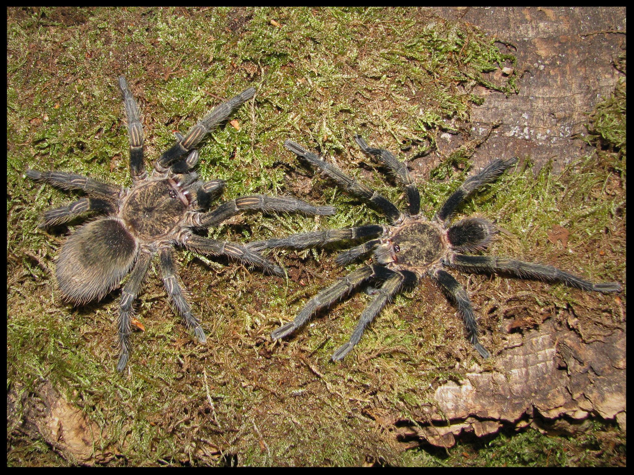 1.1 Theraphosinae sp. Piura