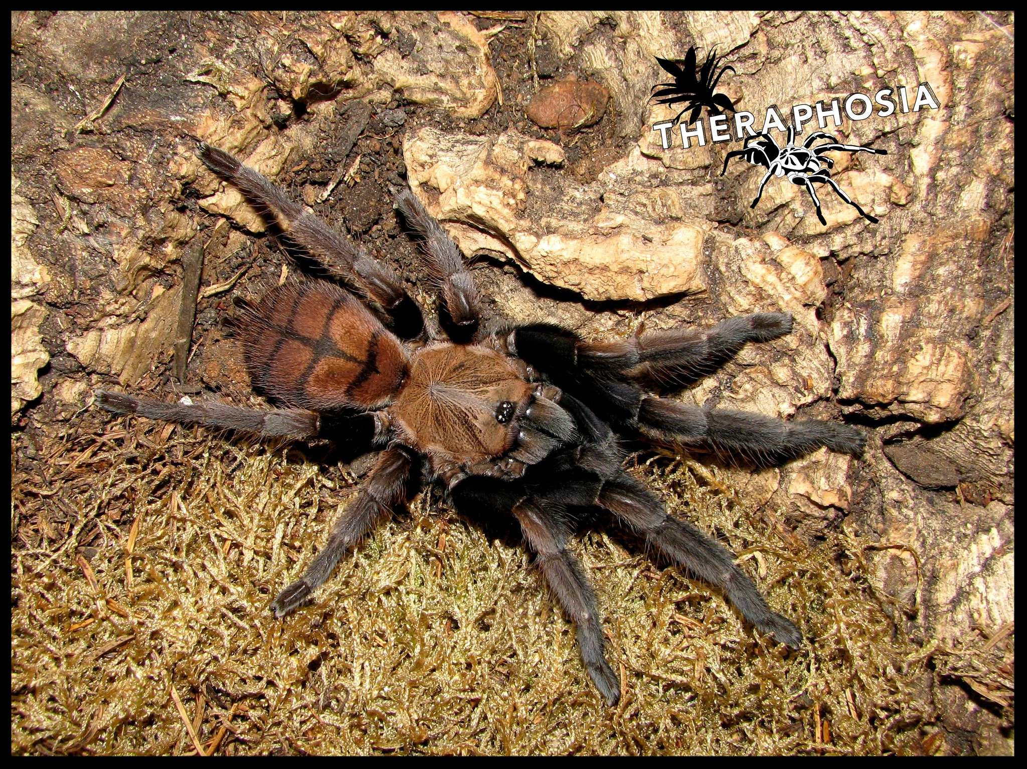 0.1 Chilobrachys fimbriatus