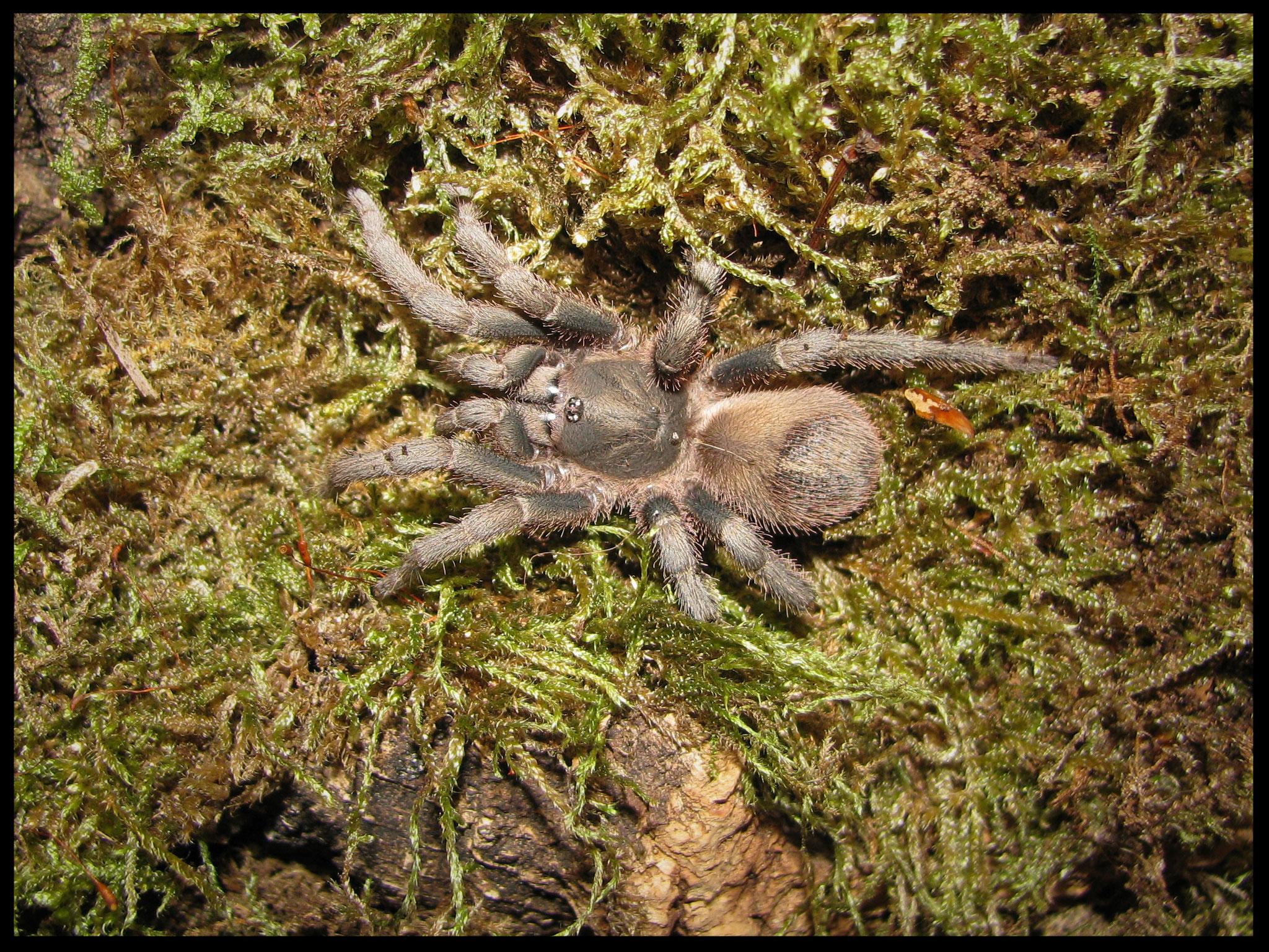0.1 Theraphosinae sp. Villa Tunari