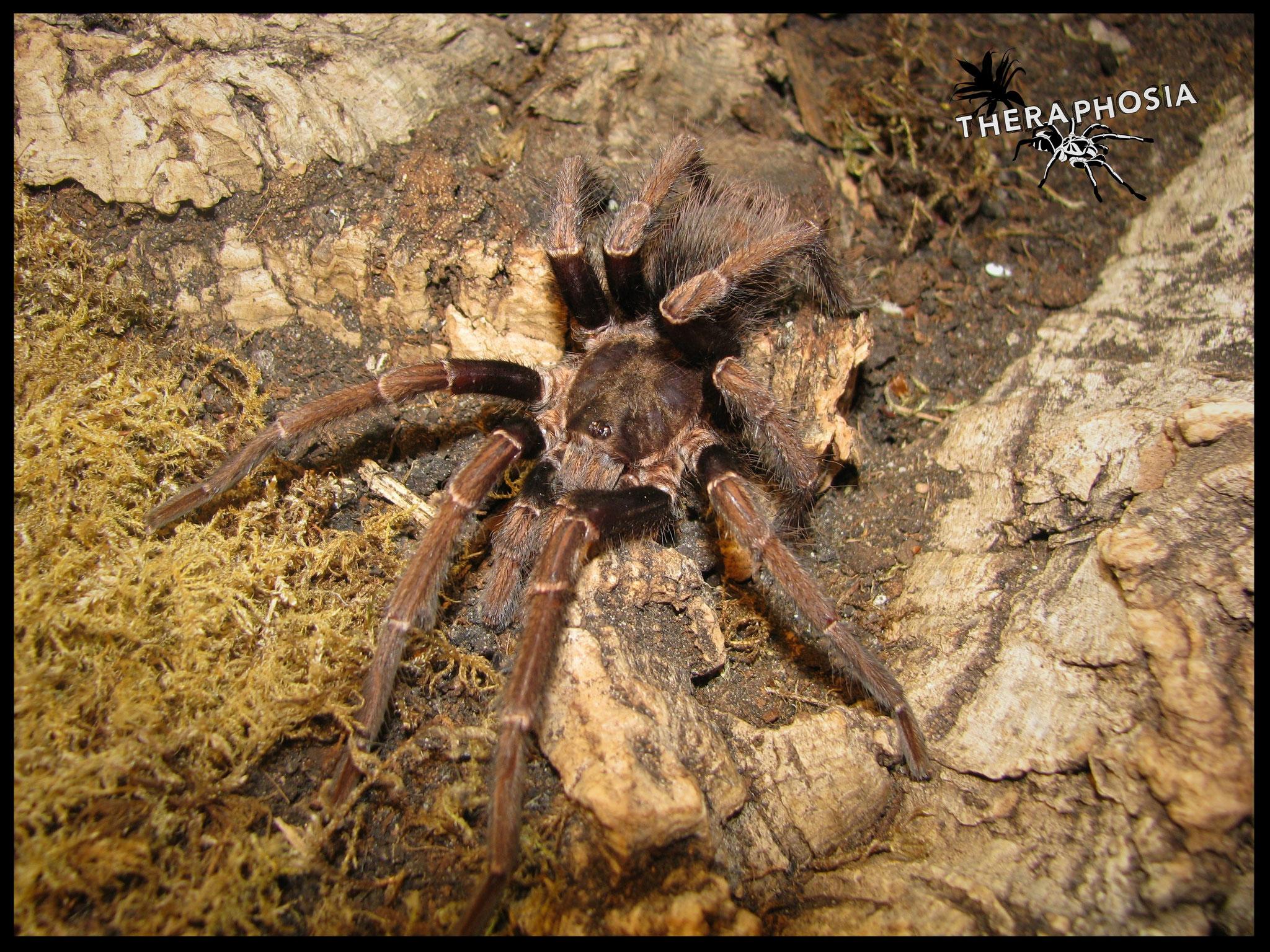 1.0 Pseudhapalopus sp. Langhaarig