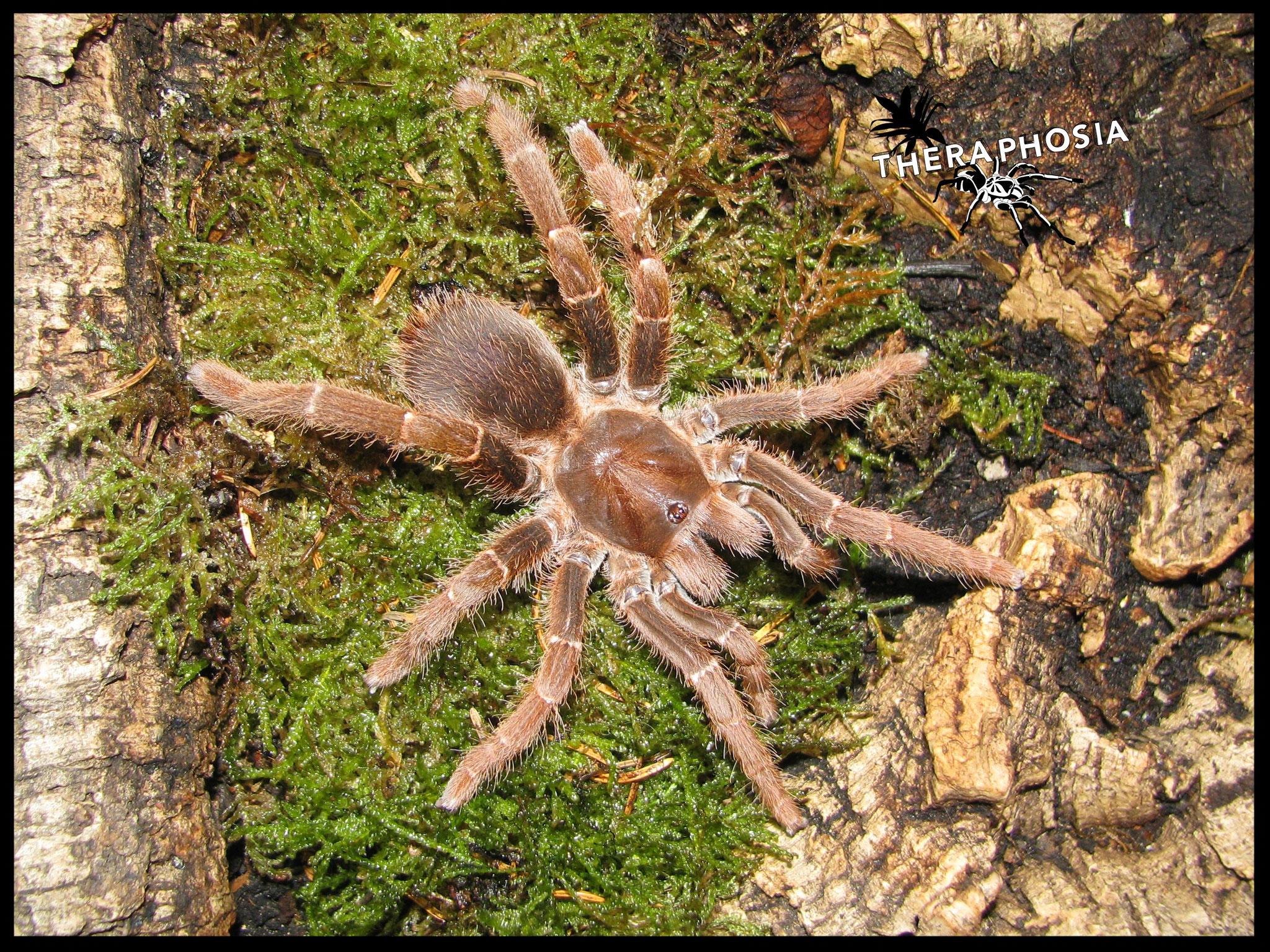 0.1 Pelinobius muticus