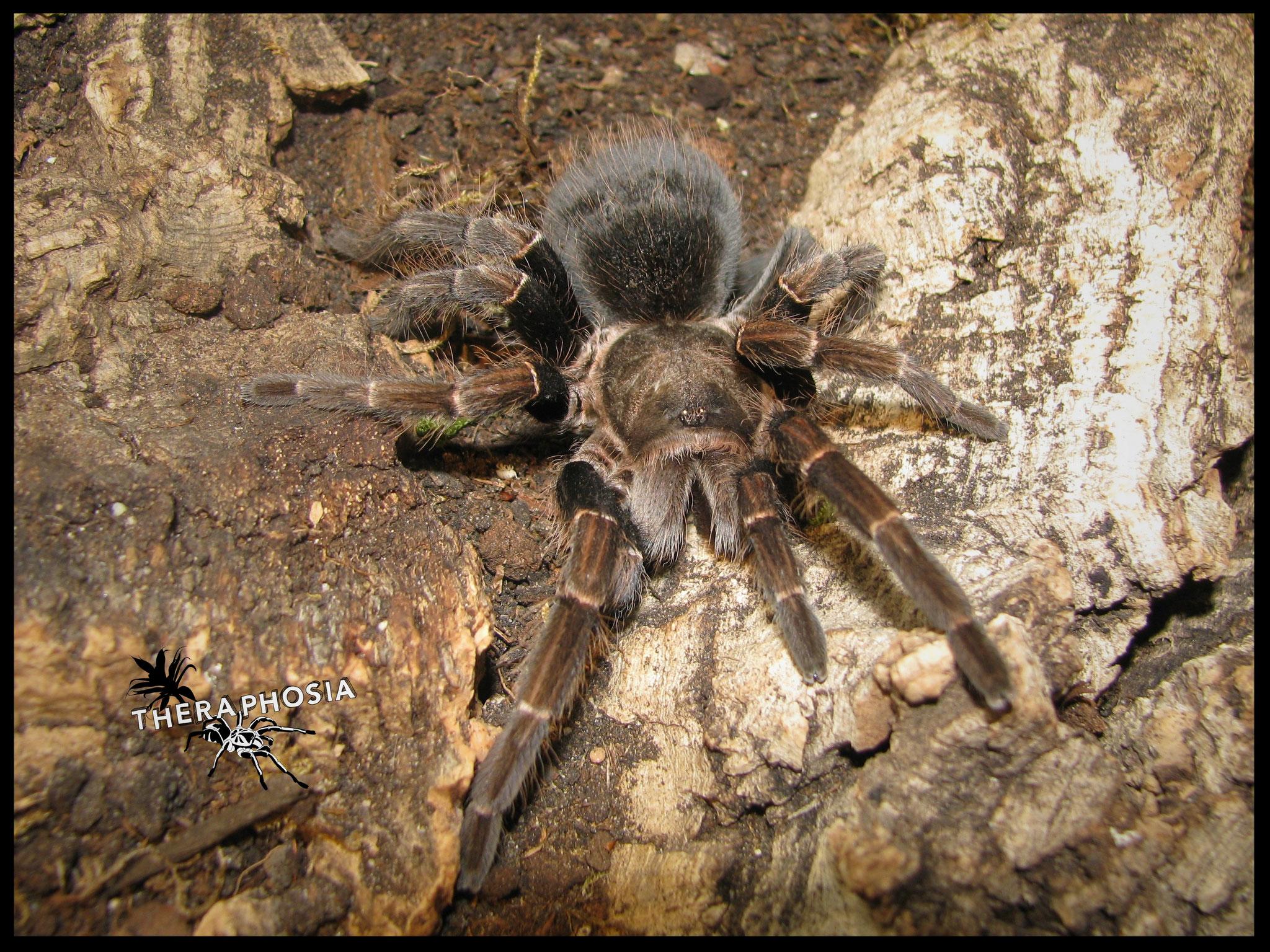 0.1 Pseudhapalopus sp. Langhaarig