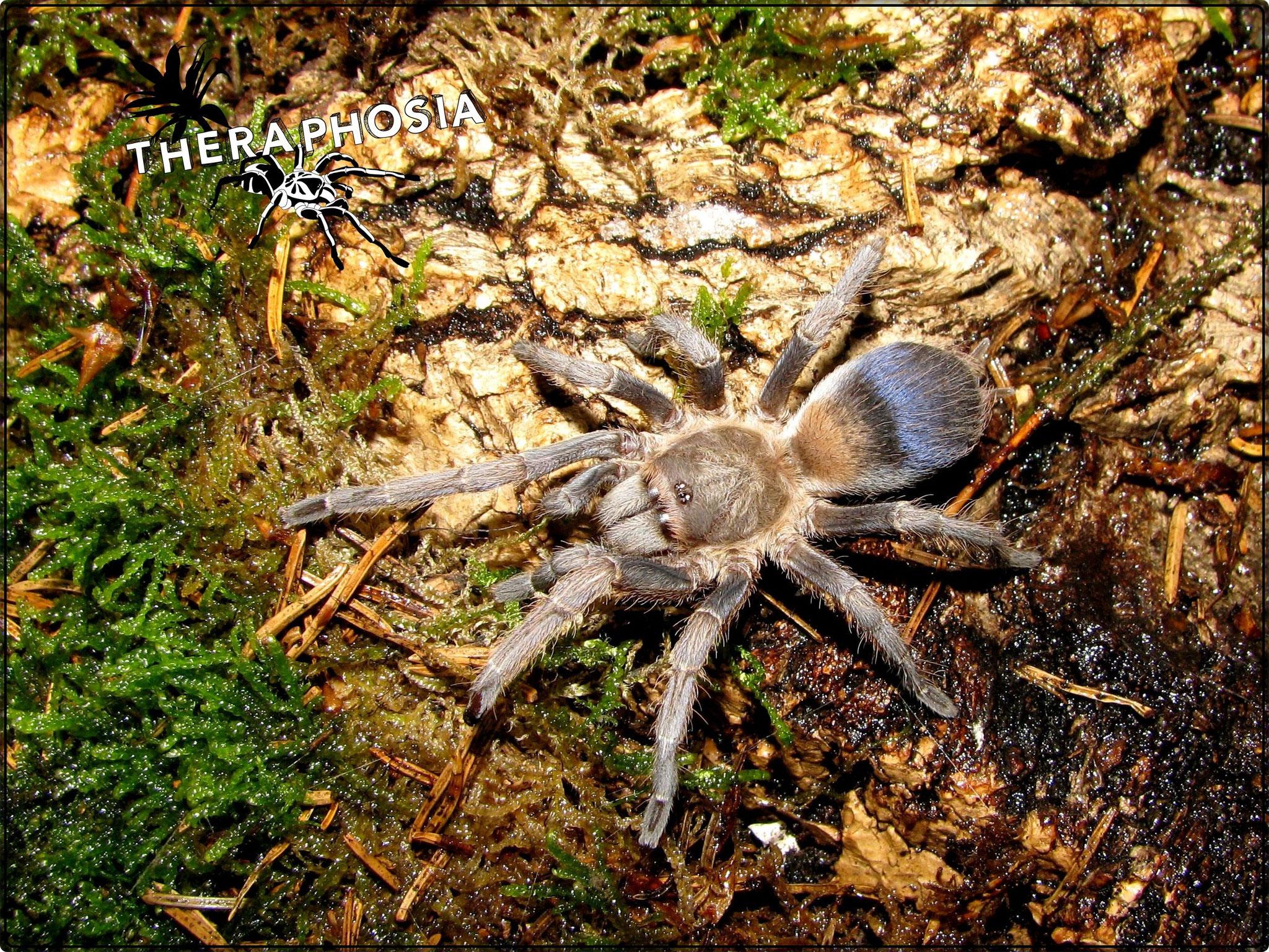 0.1 Pseudhapalopus sp Blue