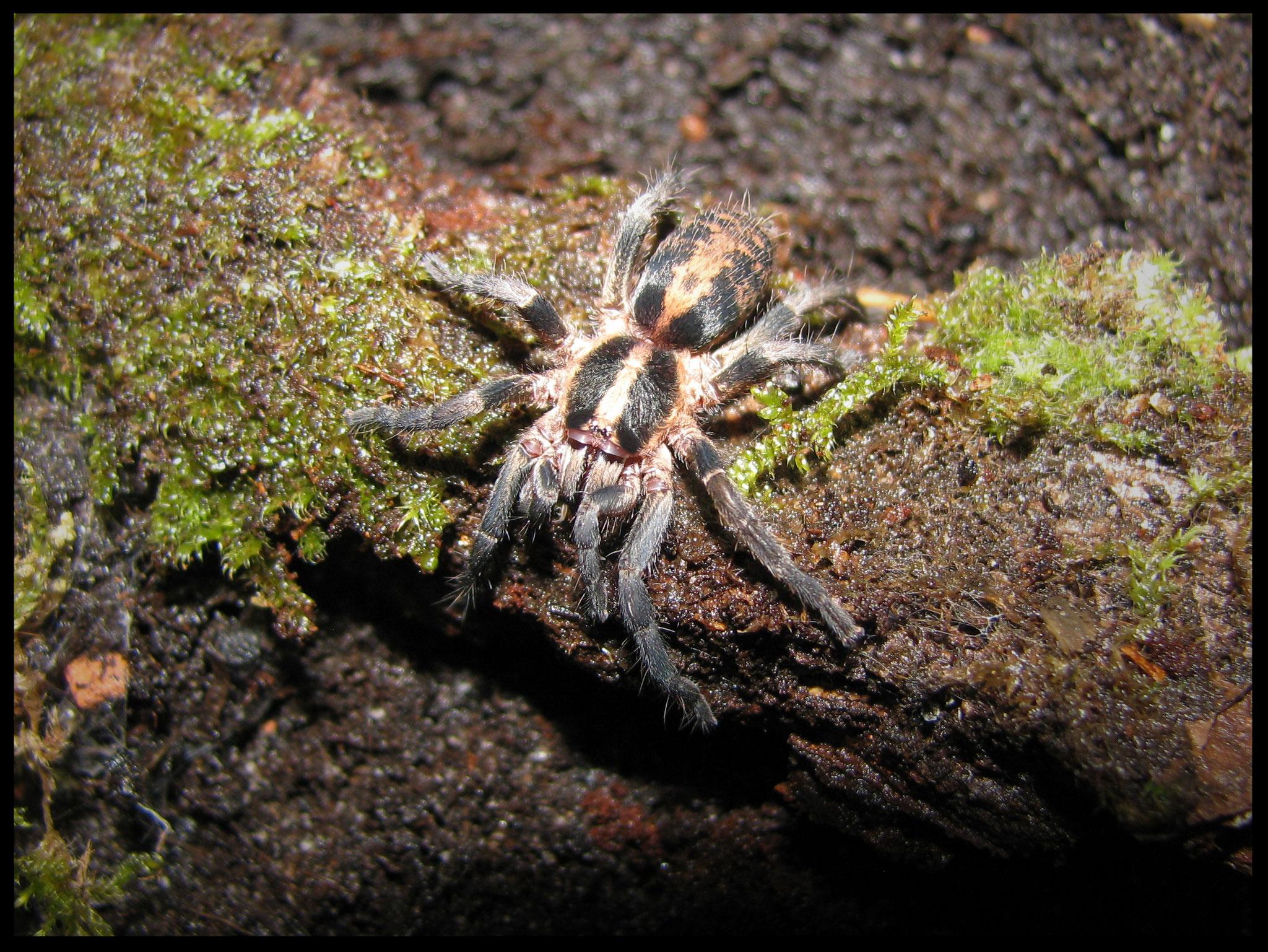 0.1 Trichopelma sp. Columbia