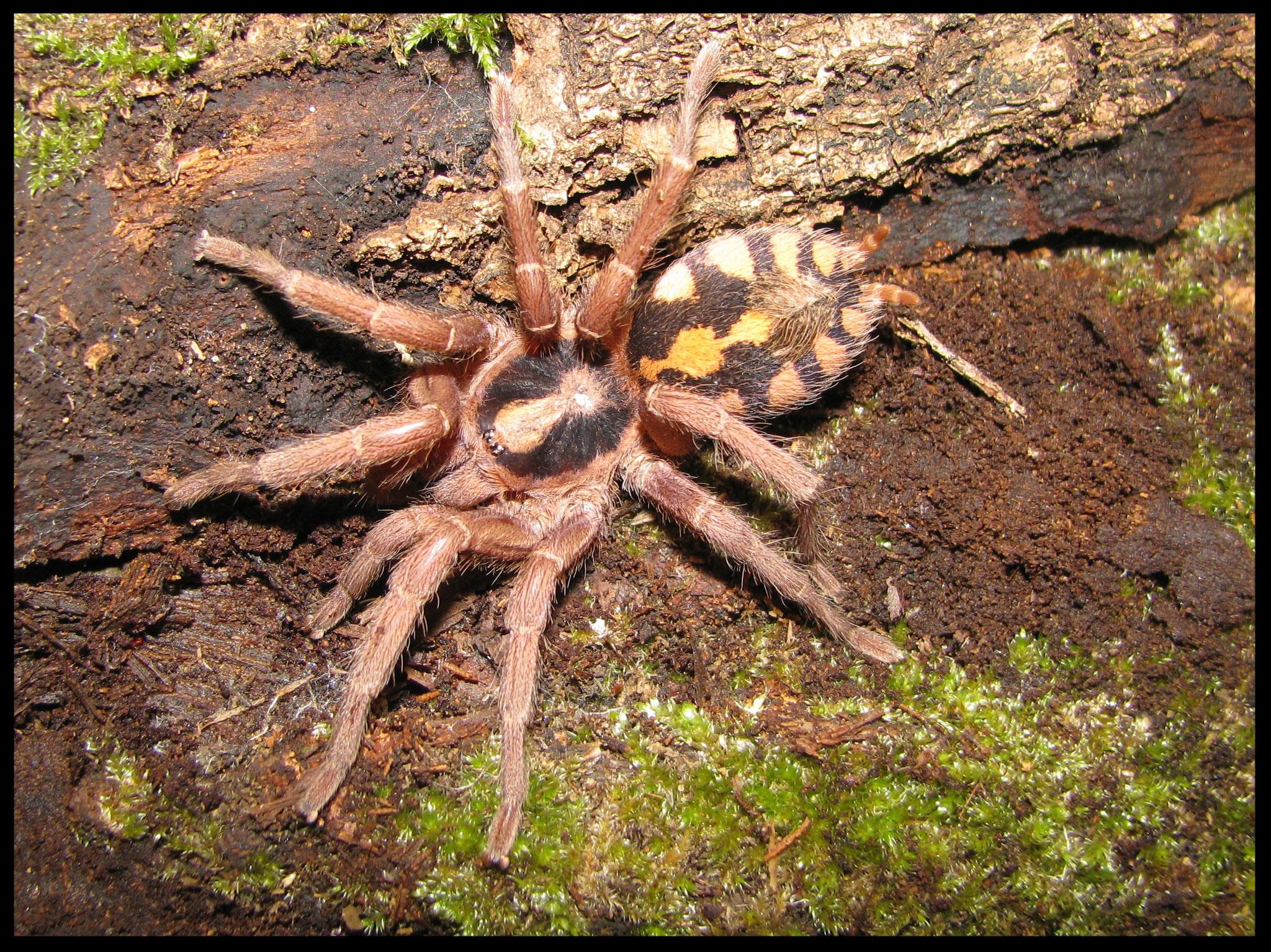 0.1 Hapalopus sp. groß