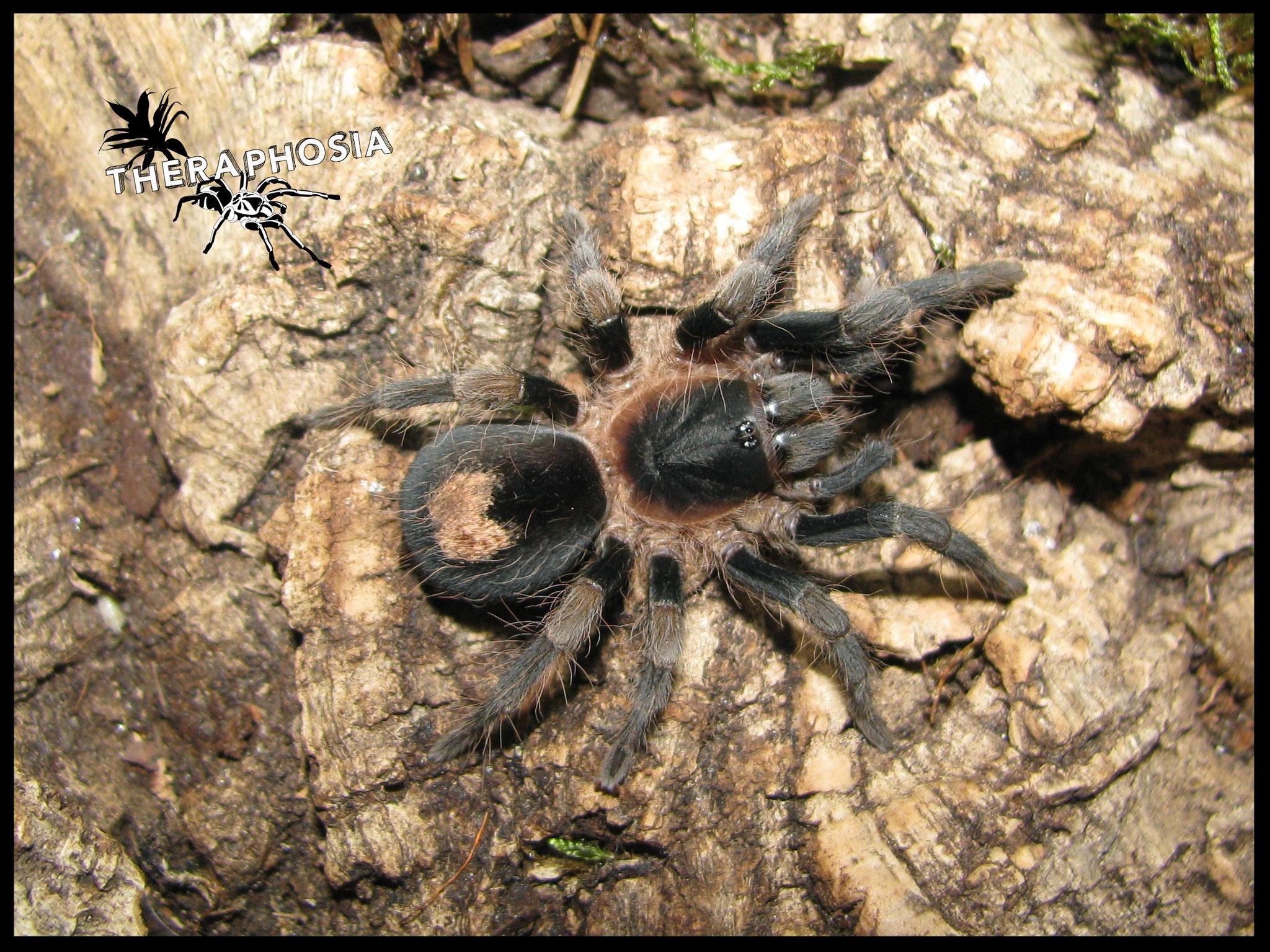 0.1 Cyriocosmus sp Tambopata