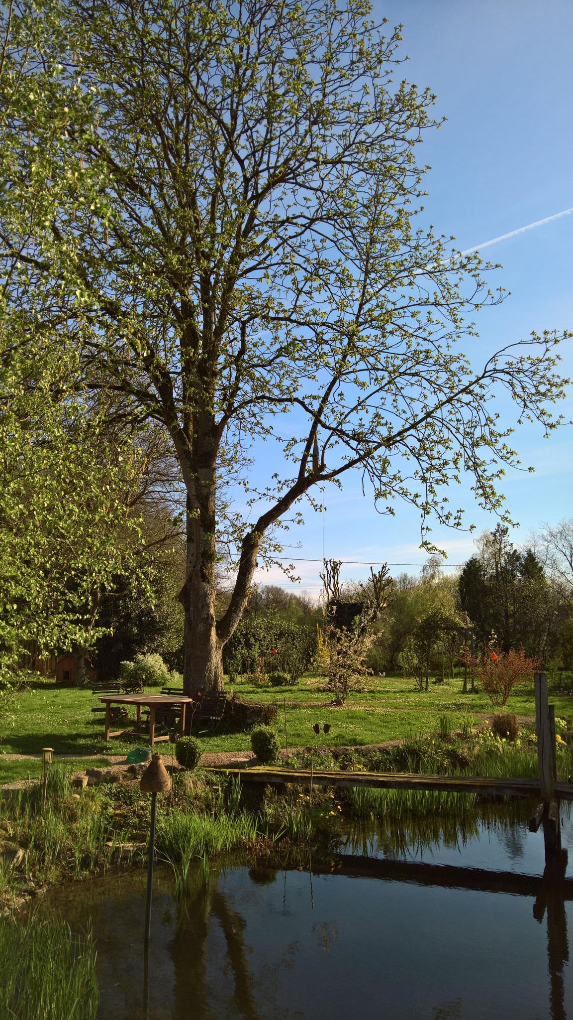 Die Kastanie im Frühlingskleid