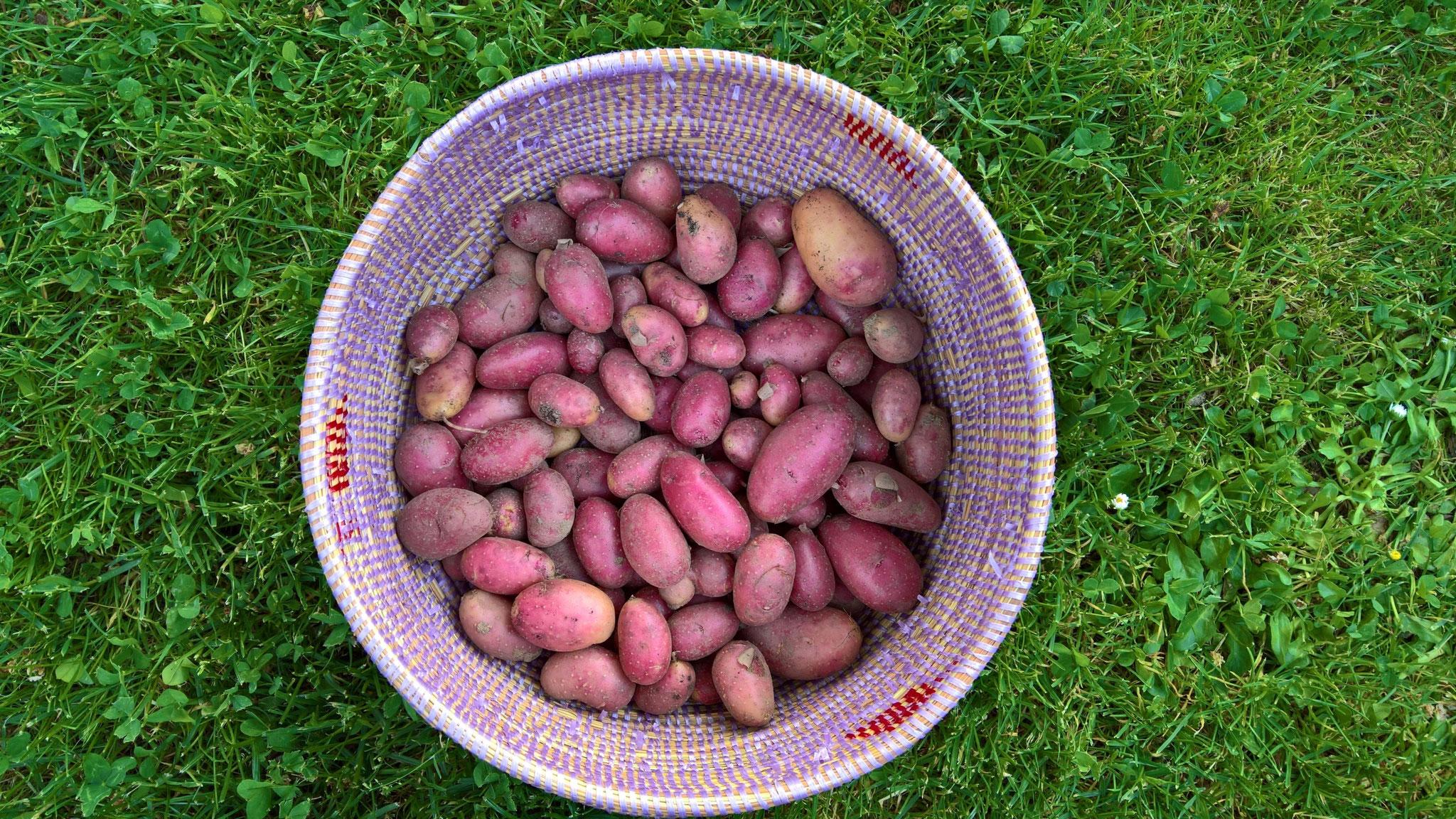 Rote Kartoffeln aus dem eigenen Garten